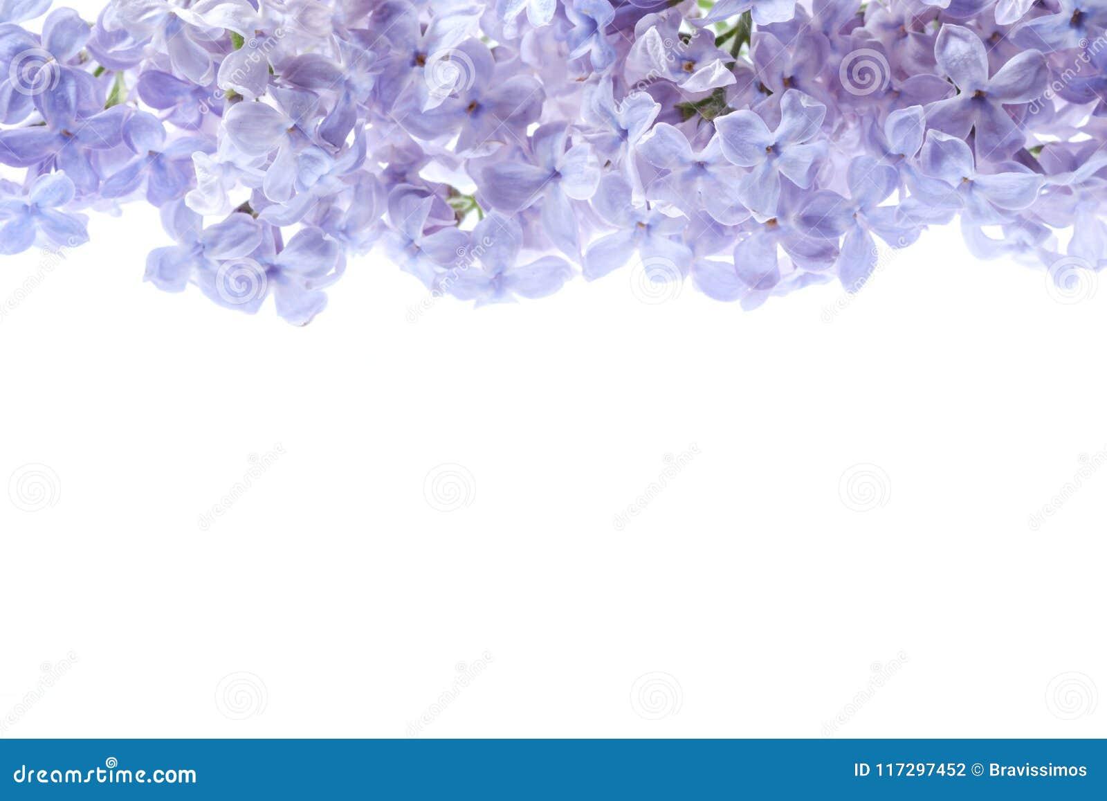 淡紫色花边界 紫色花花束在白色背景被隔绝 看法从上面,平的位置概念