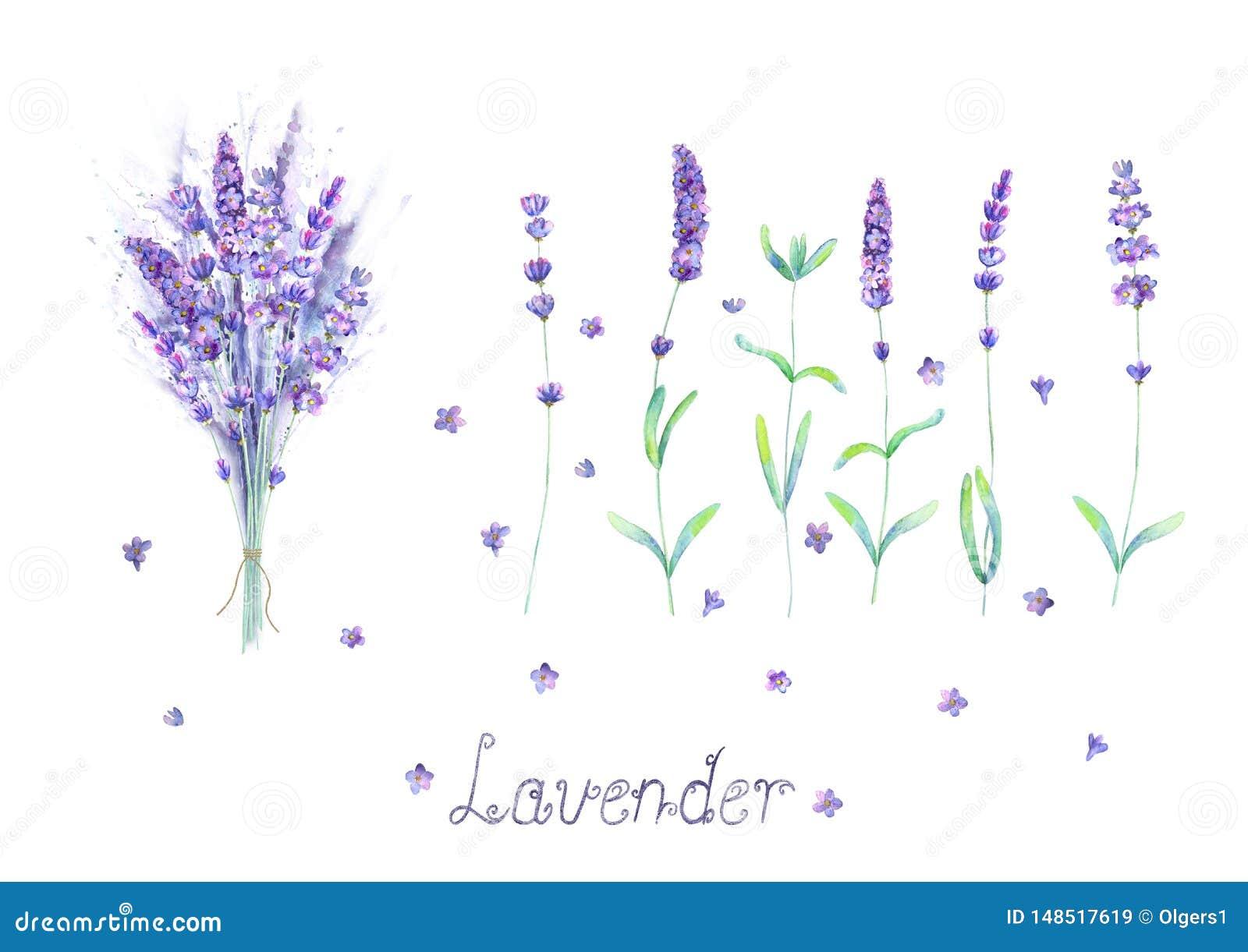 淡紫色花,花束,在白色背景隔绝的紫色绿色水彩集合上写字