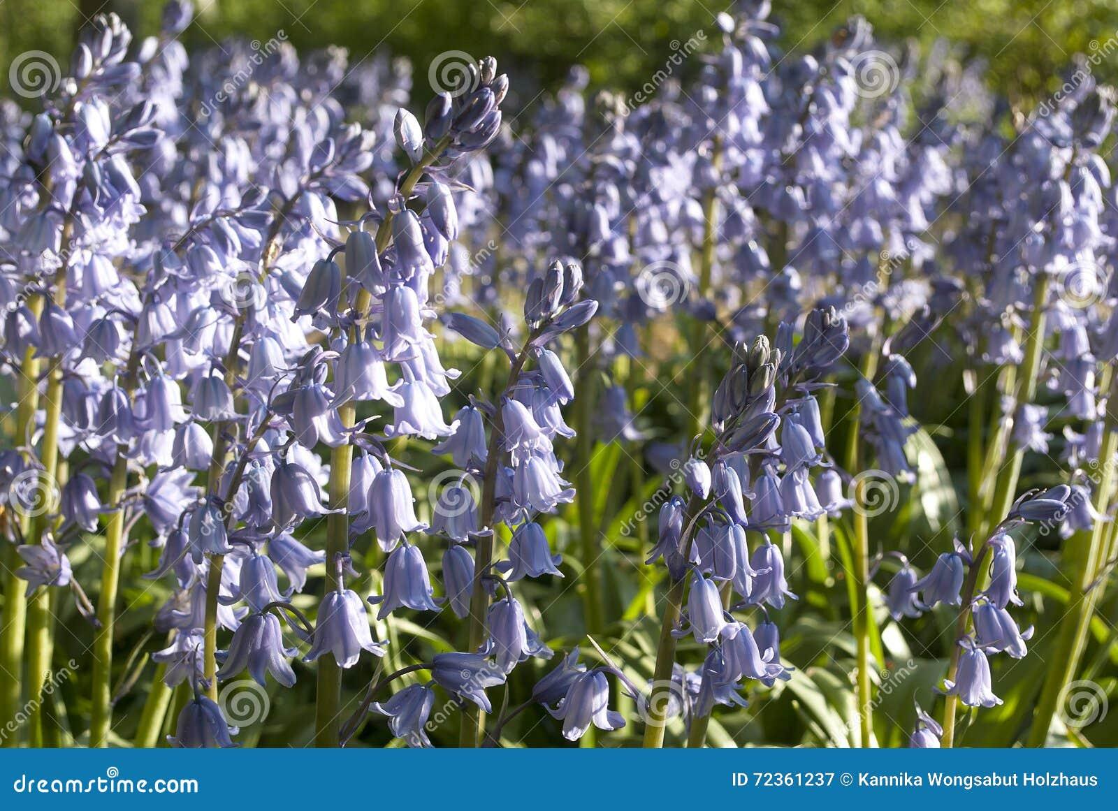 淡紫色色的钟形曲线的花在草甸