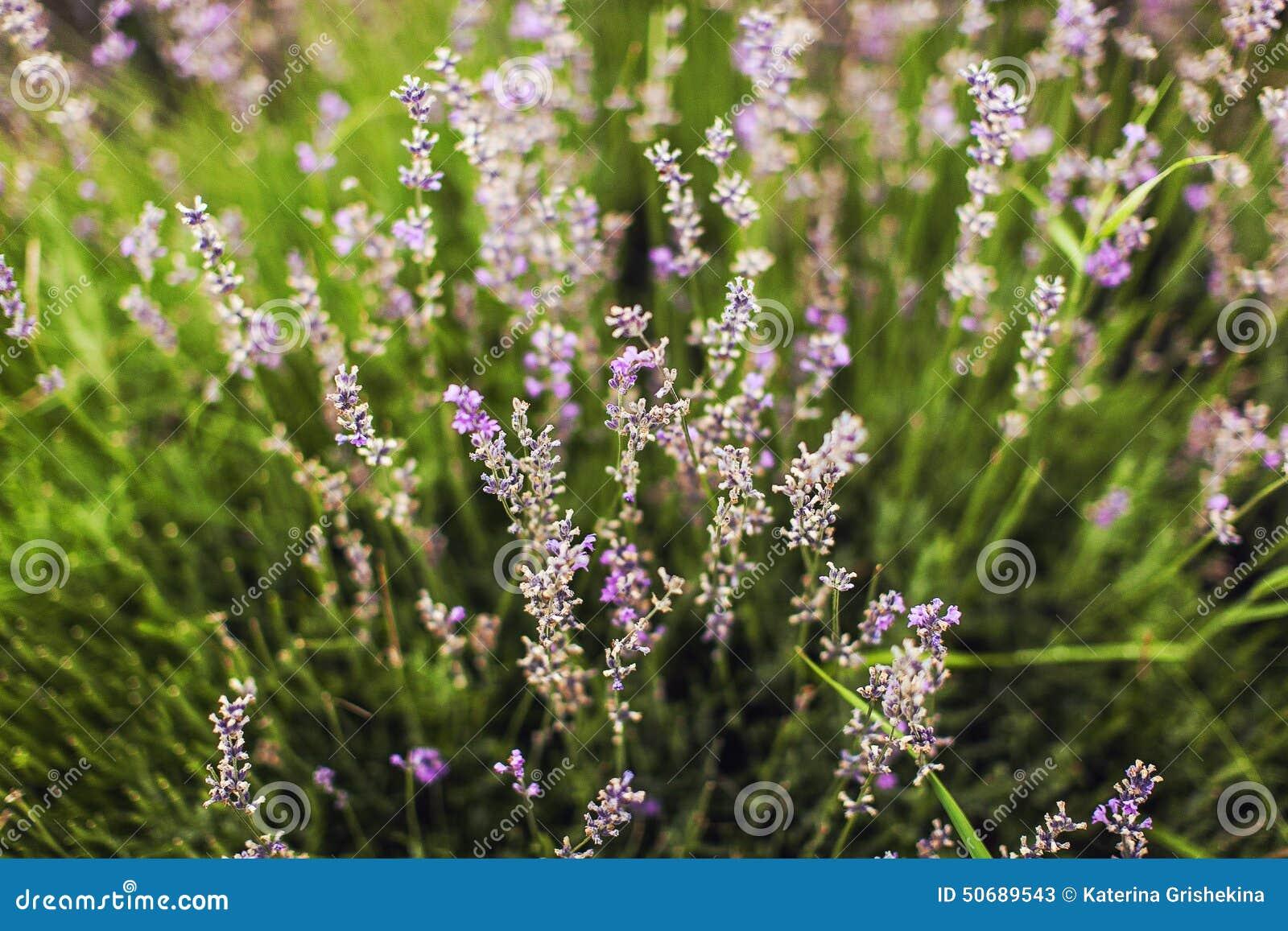 Download 淡紫色 库存图片. 图片 包括有 脆弱, 粉红色, beautifuler, 颜色, 特写镜头, 关闭, 纤巧 - 50689543