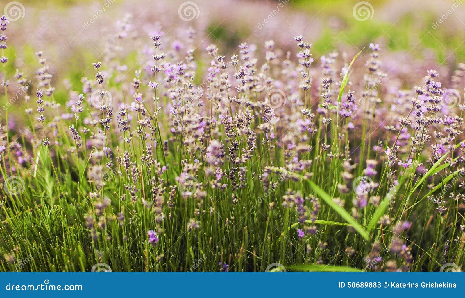 Download 淡紫色 库存图片. 图片 包括有 复制, 本质, 关闭, beautifuler, 花束, 重点, 工厂 - 50689883