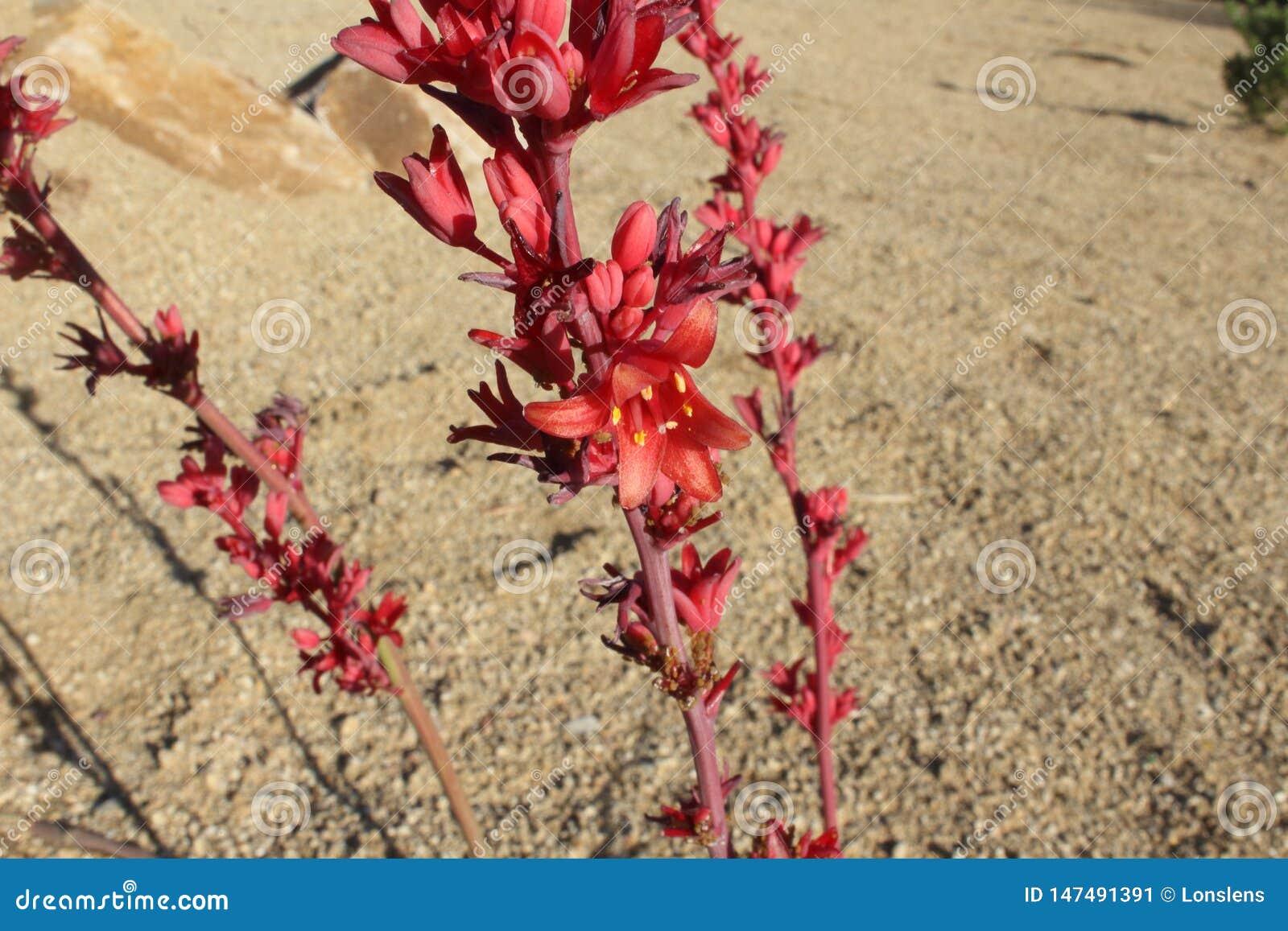深猩红色红色丝兰花茎在阳光下