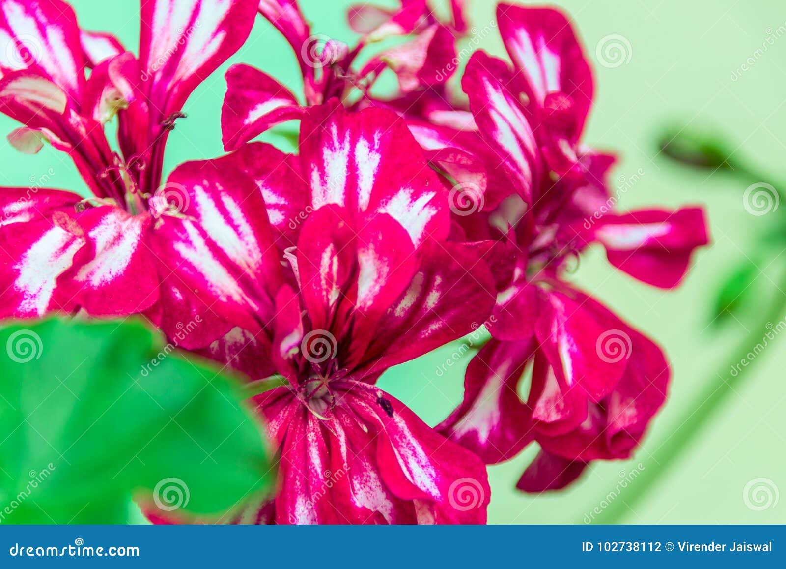 深红双重天竺葵花