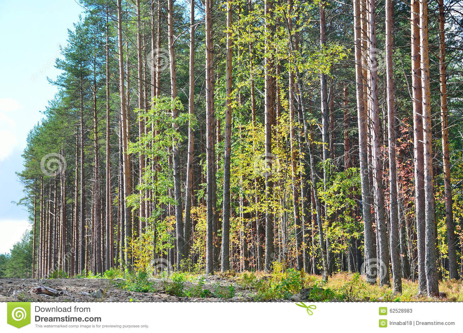 混杂的森林由杉树,卡累利阿控制了