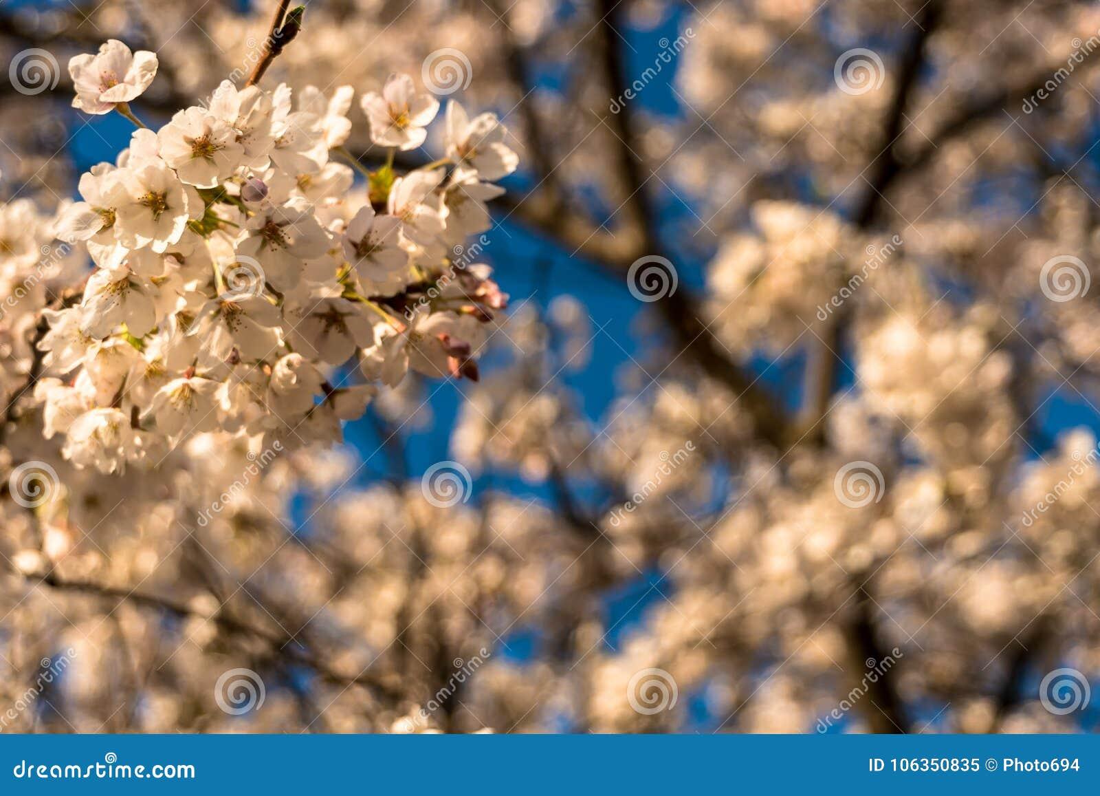 清早在盛开的樱花