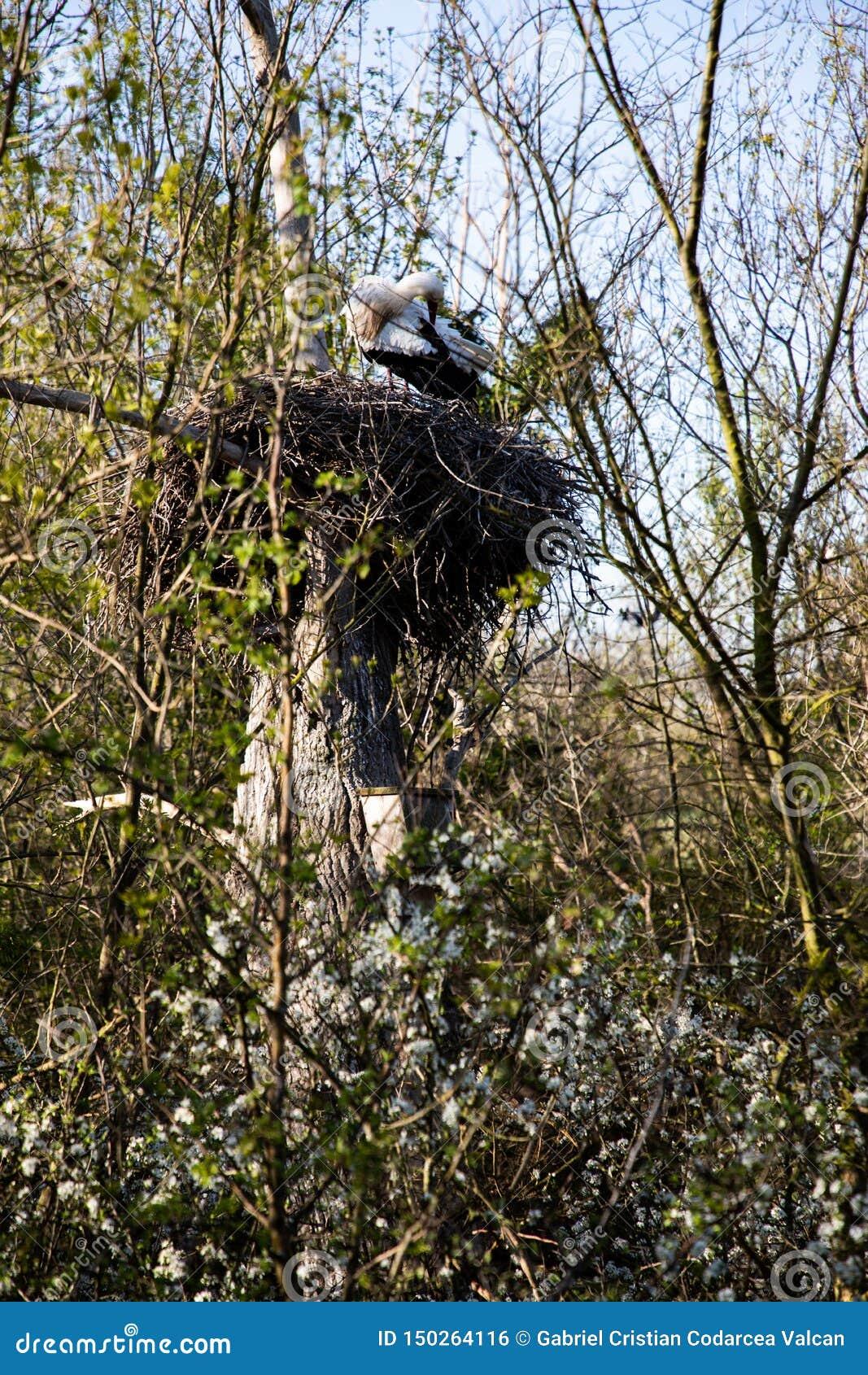清洗它的在它的巢的接近的观点的鹳羽毛