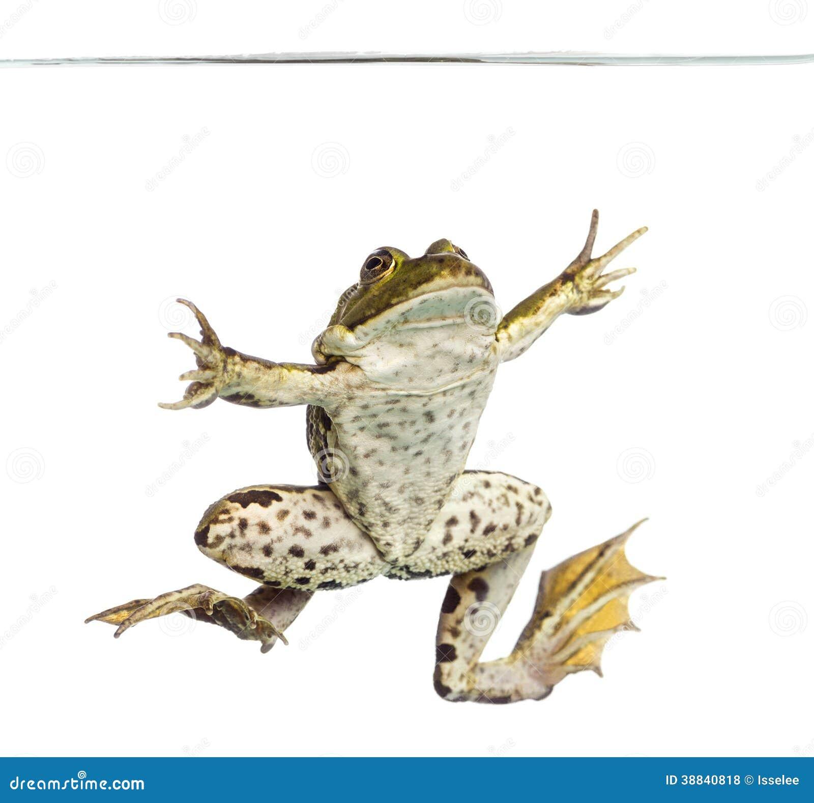 从游泳,在吃水线下, pelophylax下面被观看的可食的青蛙kl.图片