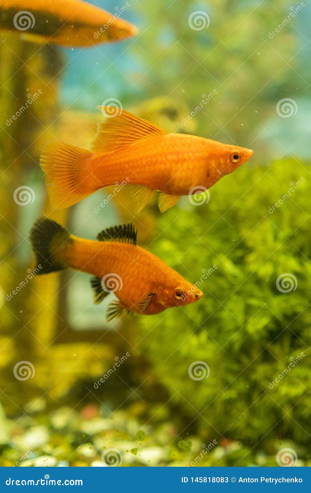 游泳在有植物的水族馆的热带五颜六色的鱼 在淡水水族馆的鱼有绿色美丽被种植的热带的