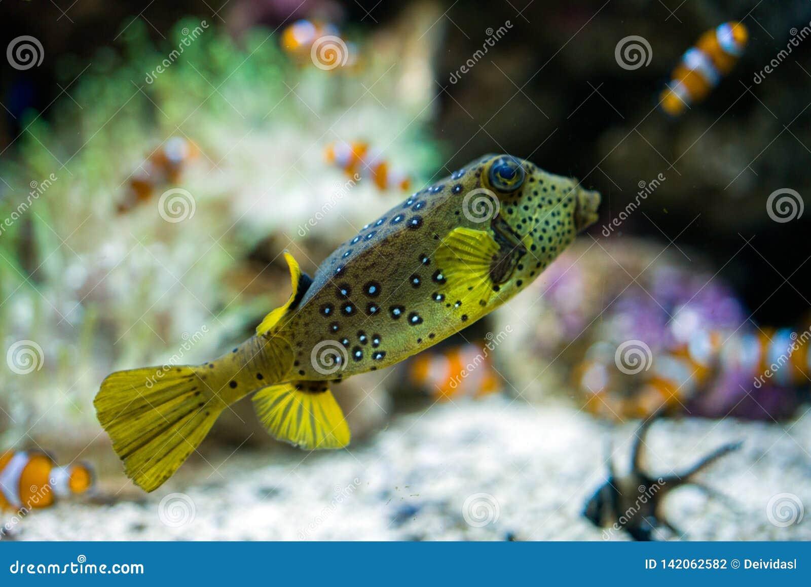 游泳在水族馆的热带五颜六色和滑稽的鱼