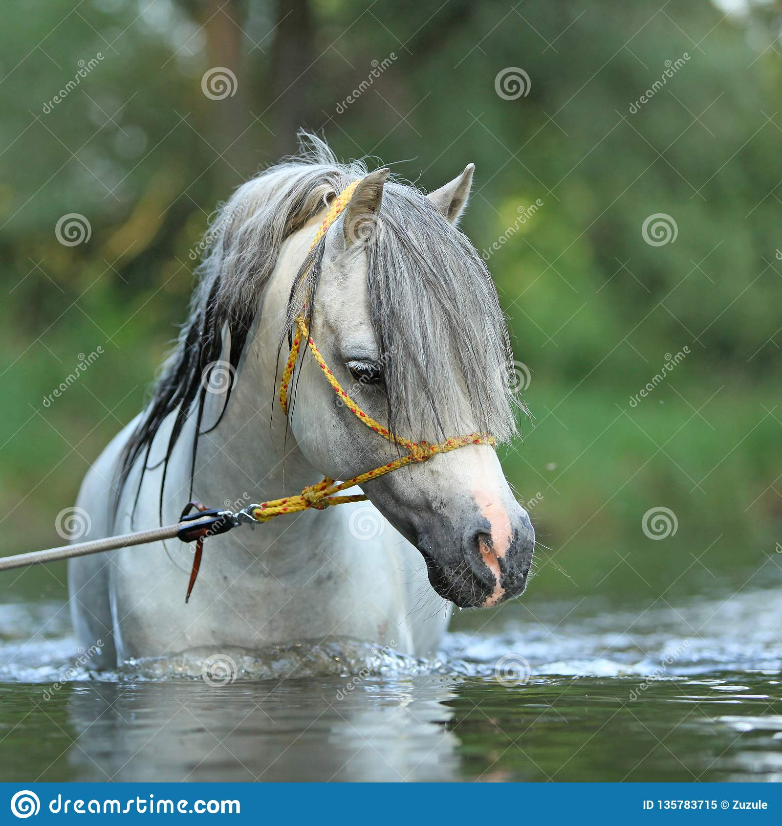 游泳在河的华美的公马