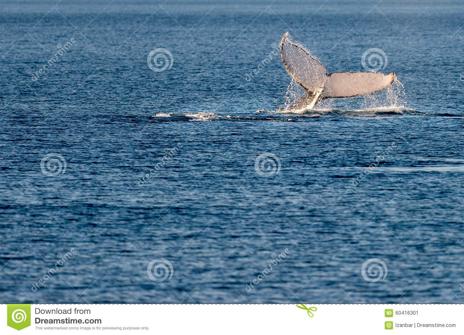 游泳在澳大利亚的驼背鲸