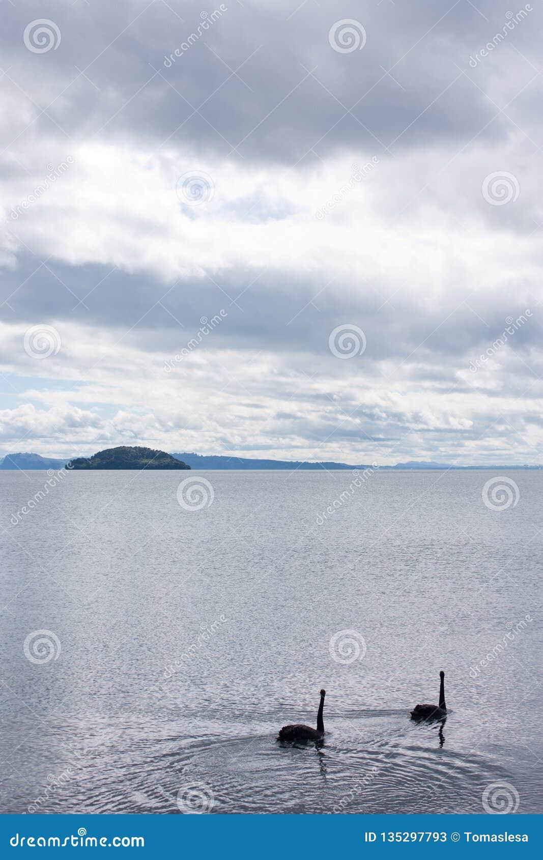 游泳在陶波湖的两黑天鹅在北岛在新西兰,一个海岛在背景中