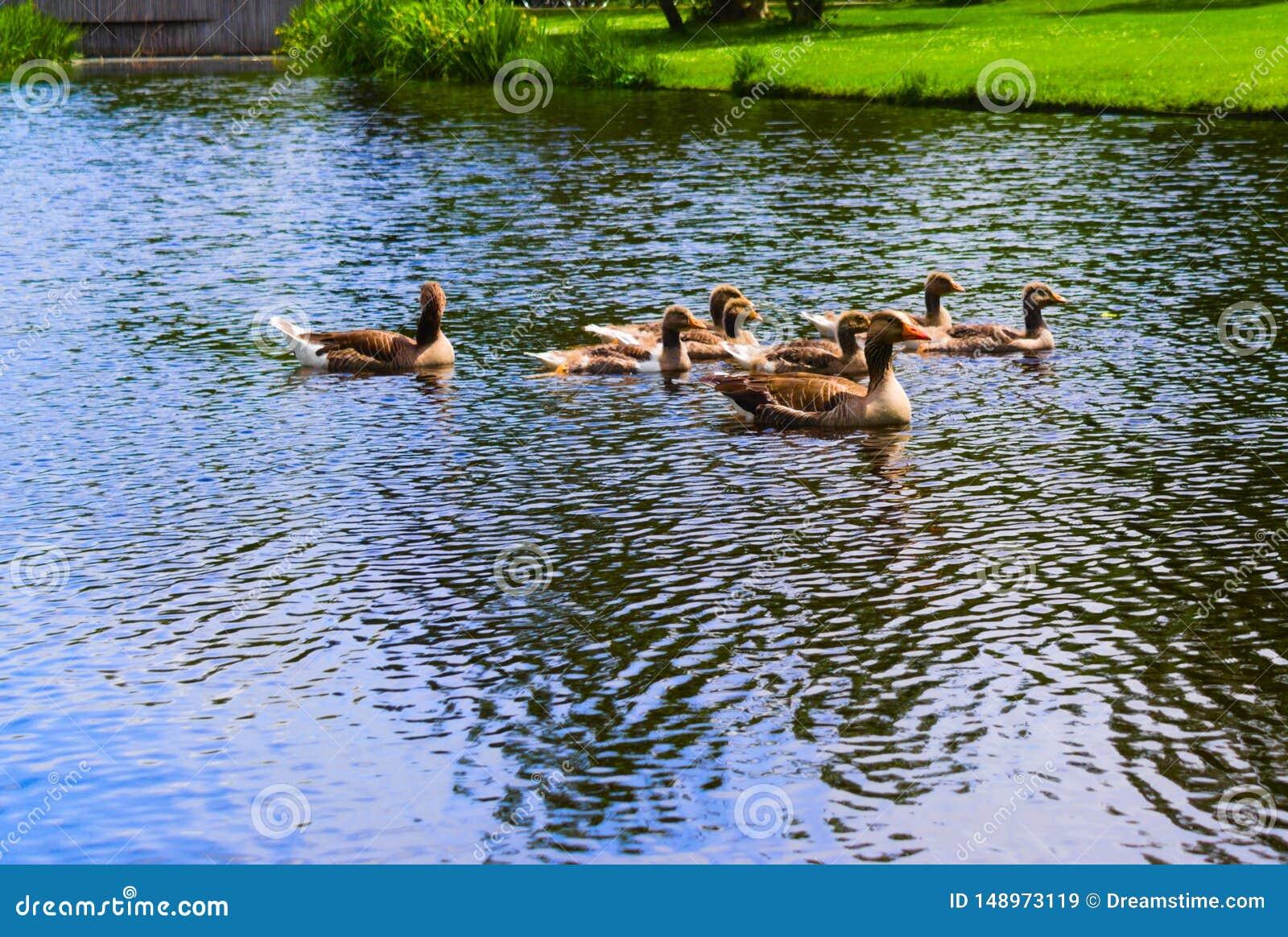 游泳在vondelpark的鸭子游泳在运河