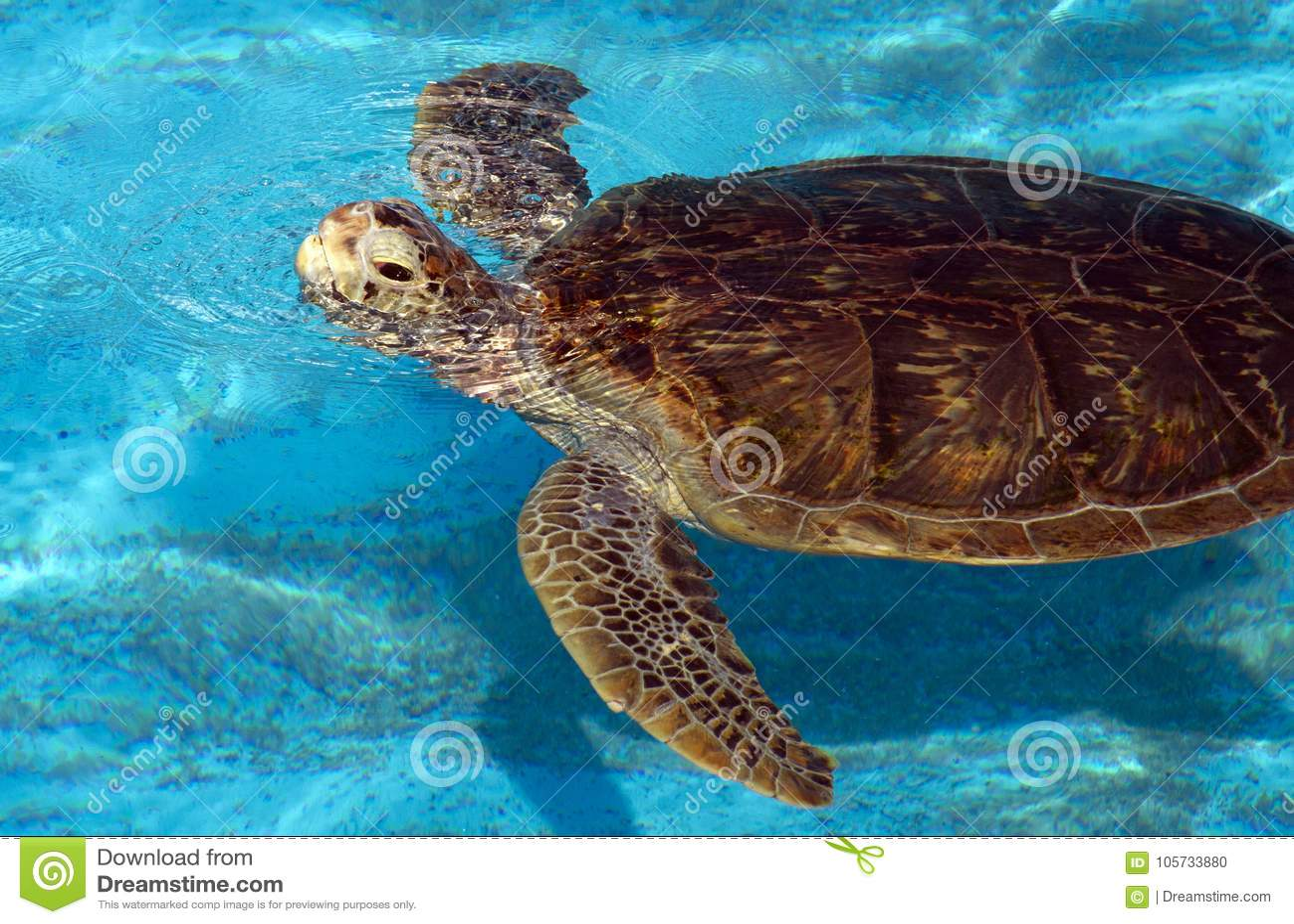 游泳愚人海龟