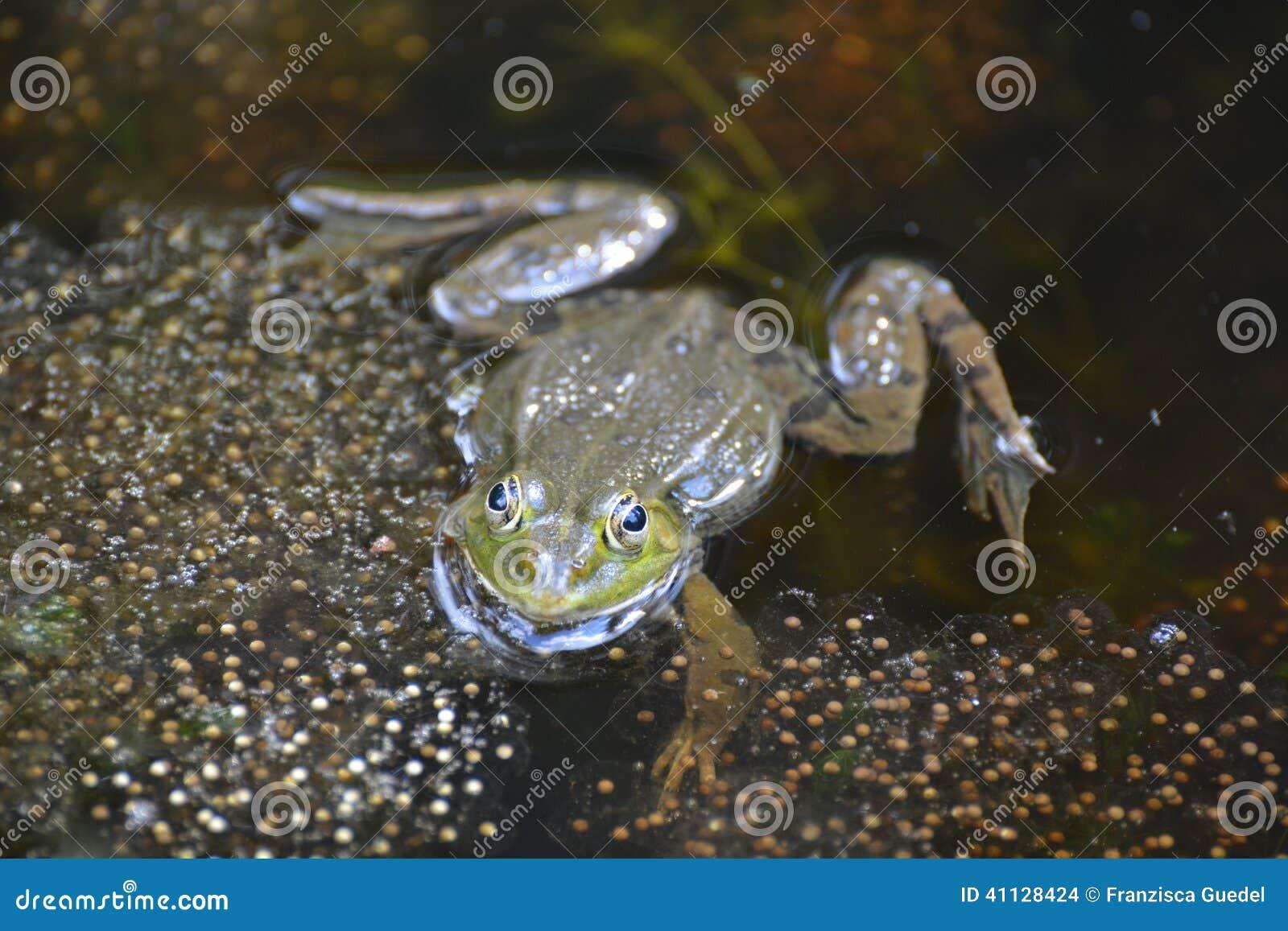 青蛙游泳在一个池塘在瑞士.图片