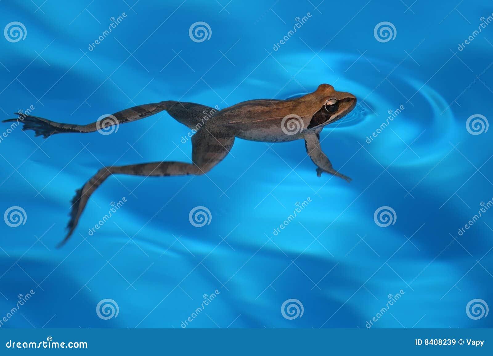 游泳青蛙图片