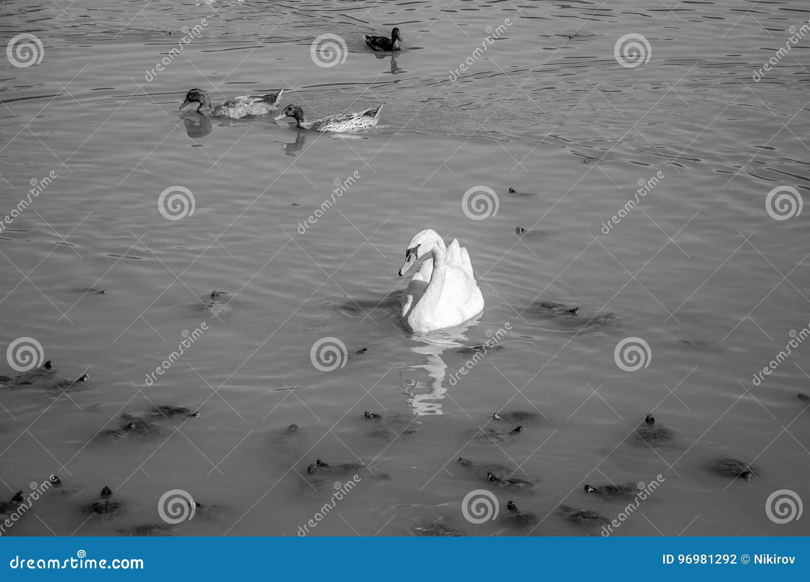 湖天鹅,乌龟和低头游泳在一个明亮的晴天在别墅Pamphili在罗马,意大利