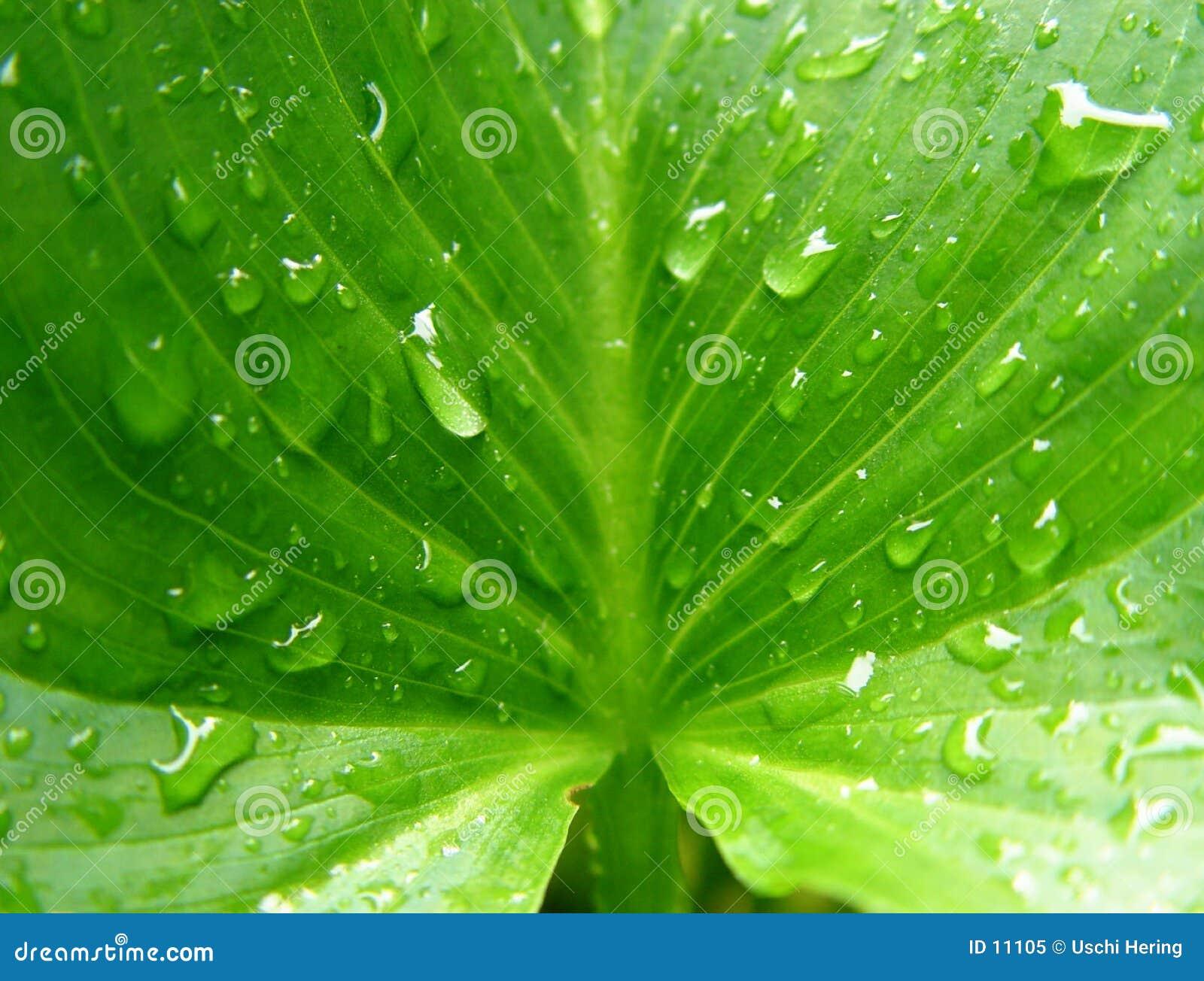湿水芋属的叶子