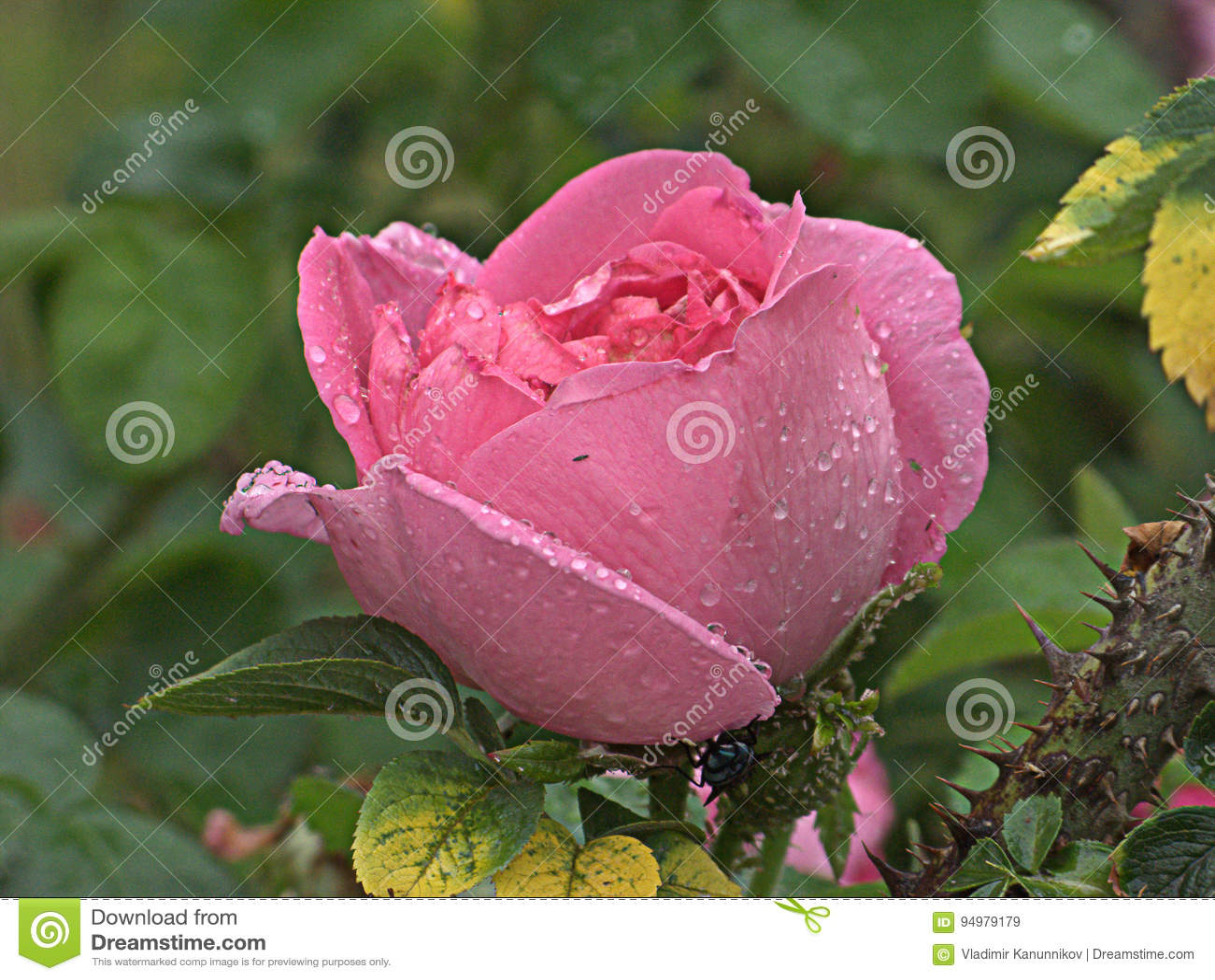 湿粉红色的玫瑰