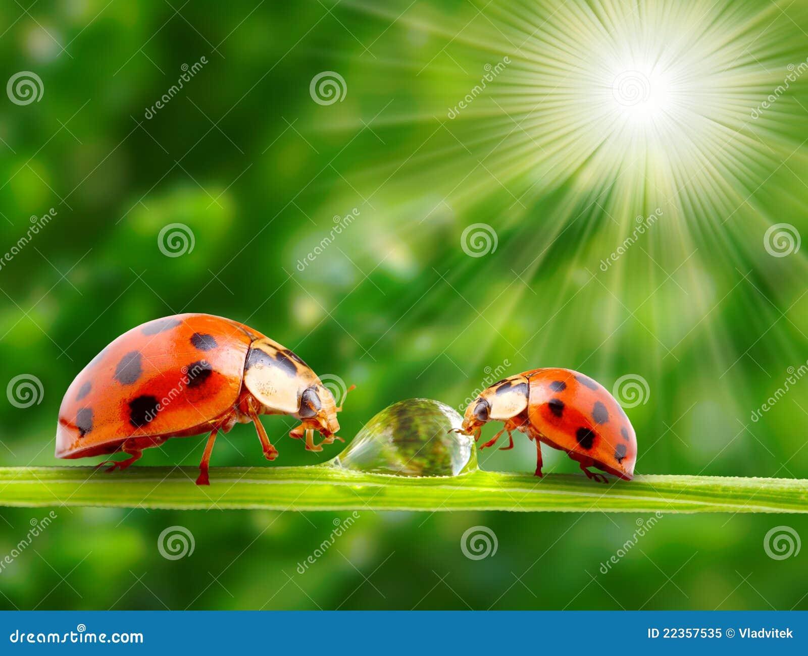 满地露水的系列草瓢虫