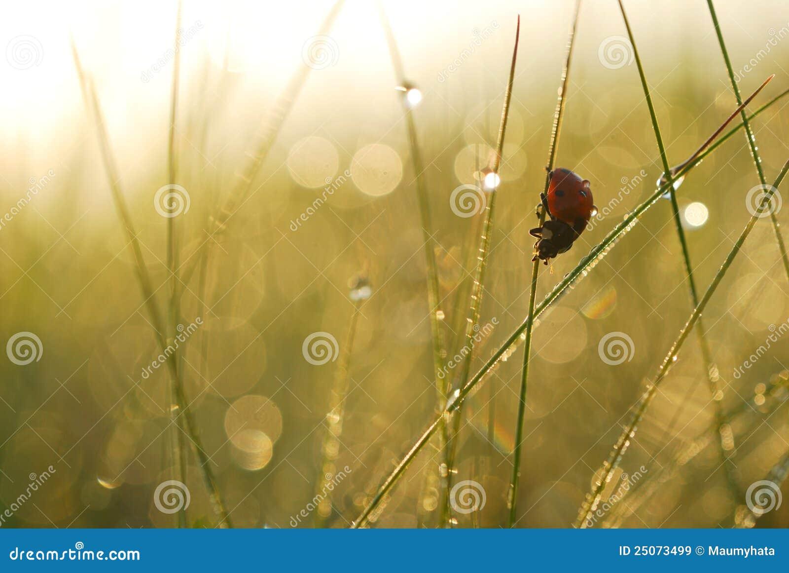 满地露水的草瓢虫