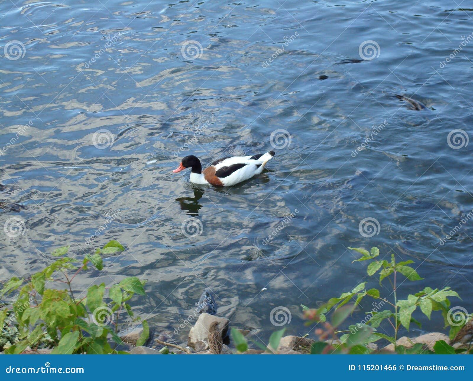 漂浮在湖的多彩多姿的鸭子