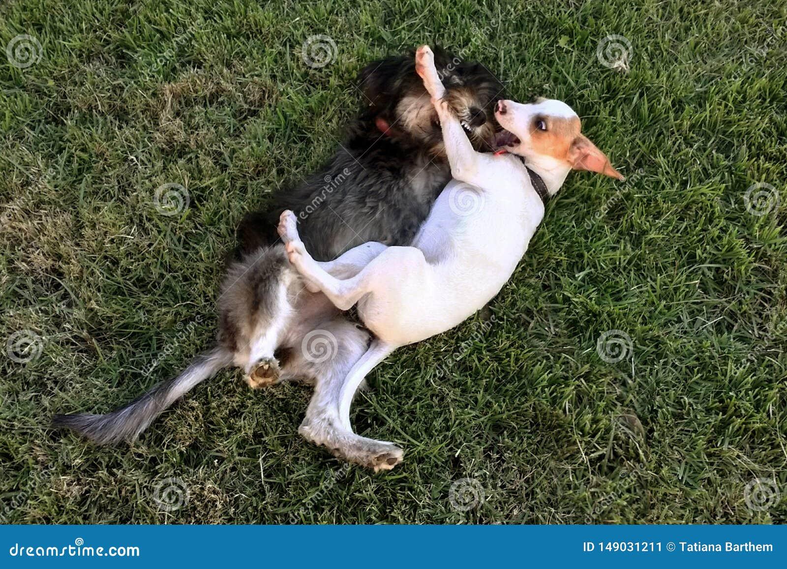 演奏攻击的狗在庭院里