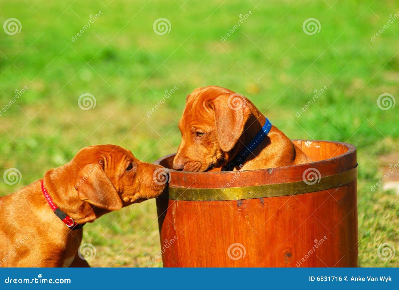 演奏rhodesian的小狗
