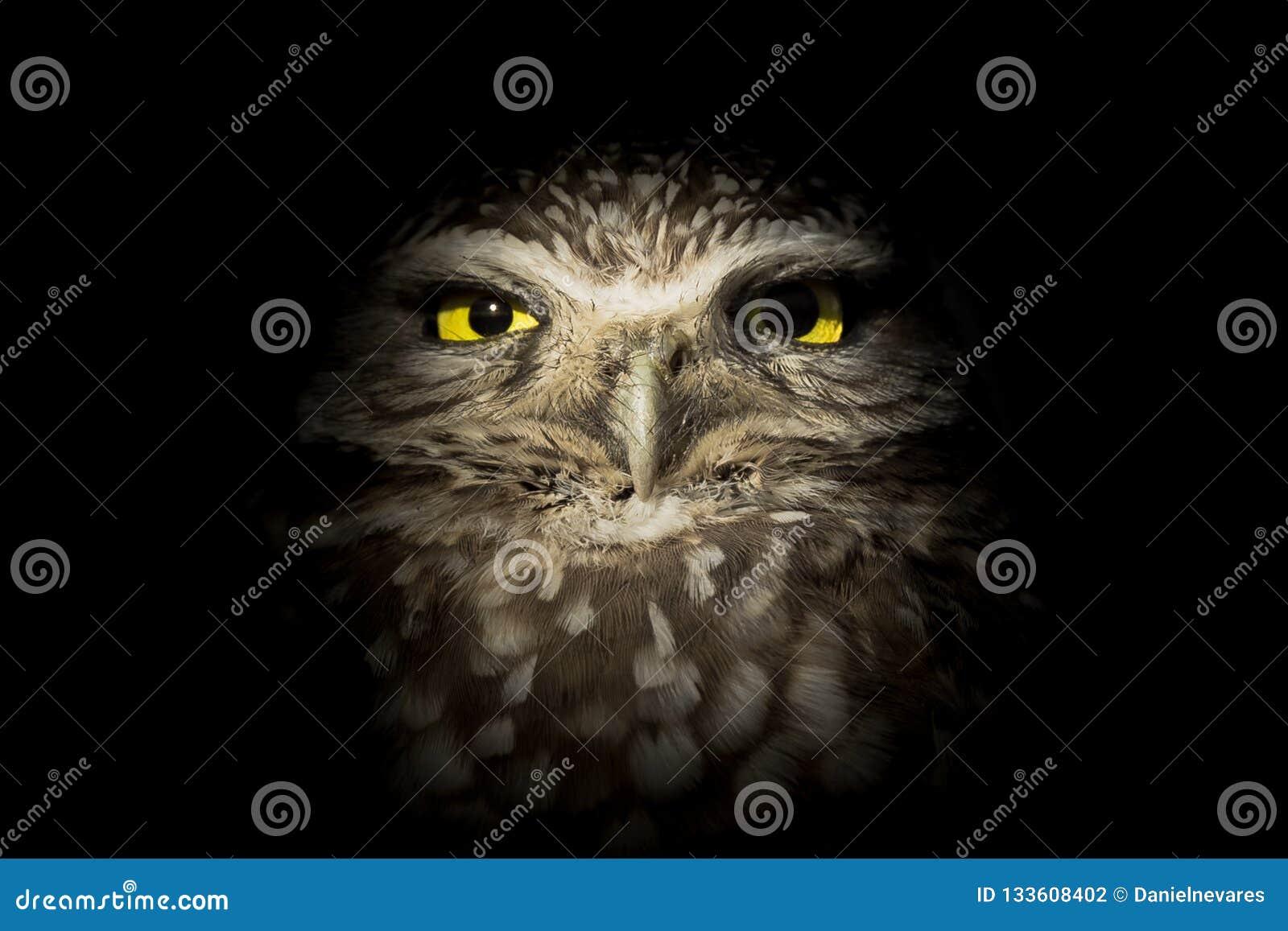 潜伏在黑暗的西部挖洞的猫头鹰-熬夜的人