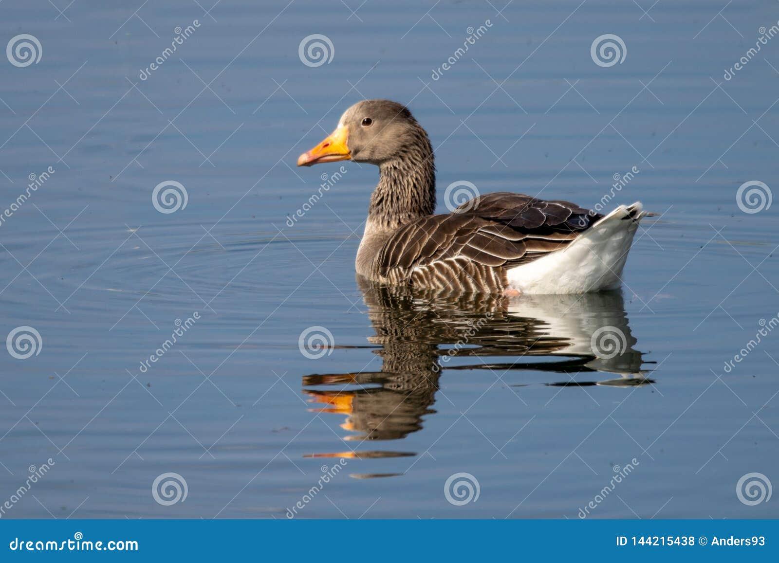 潜水入面包的湖水的黑朝向的海鸥