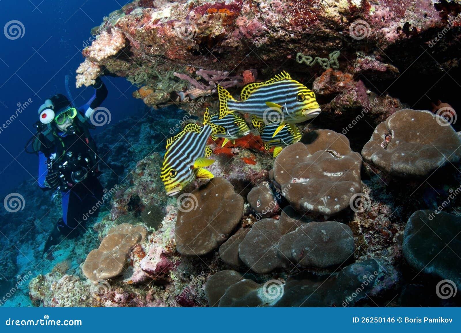 潜水员手表东方sweetlips,马尔代夫