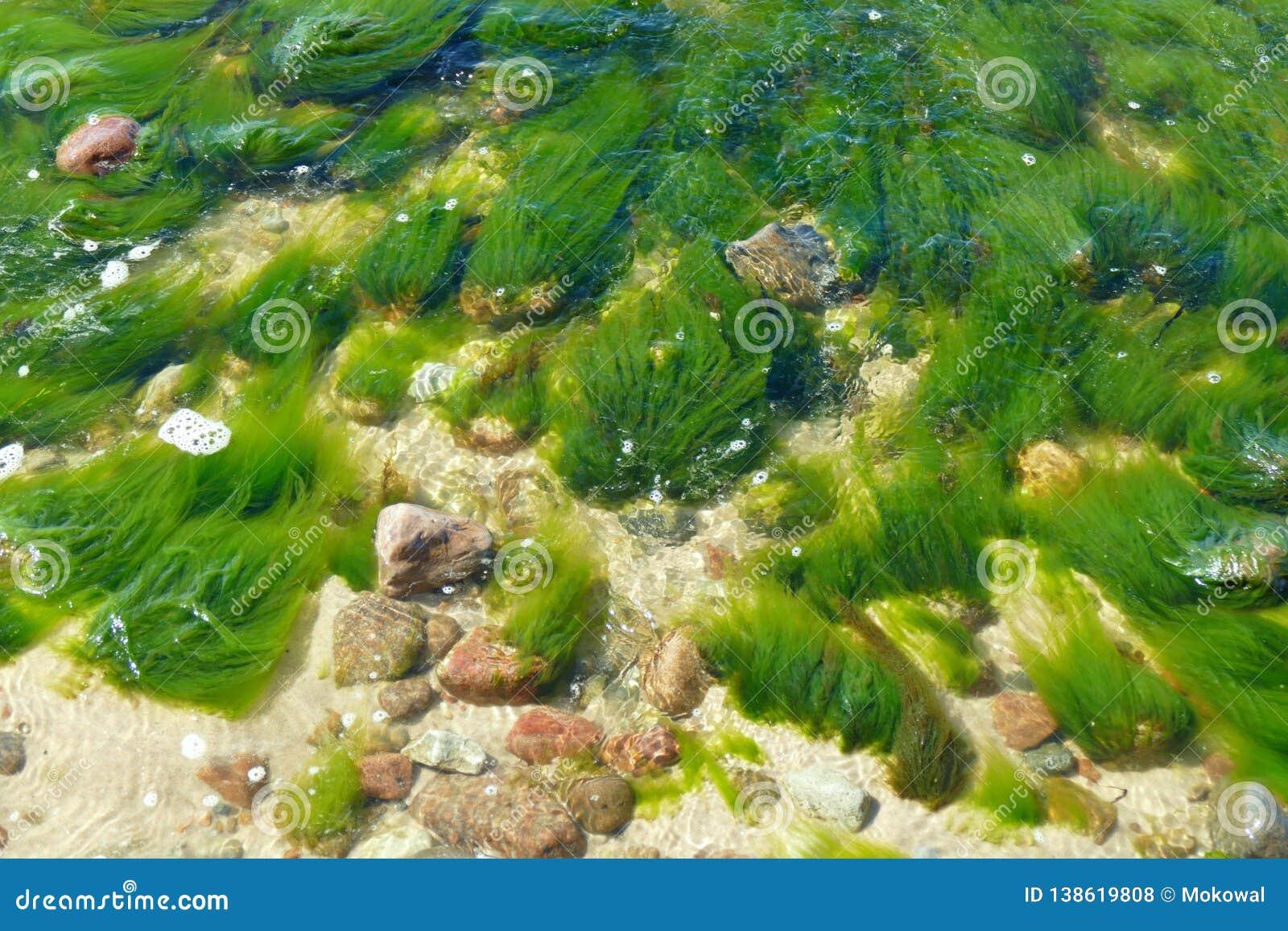 潮流鼓动在浅水区的绿色蓬松海藻
