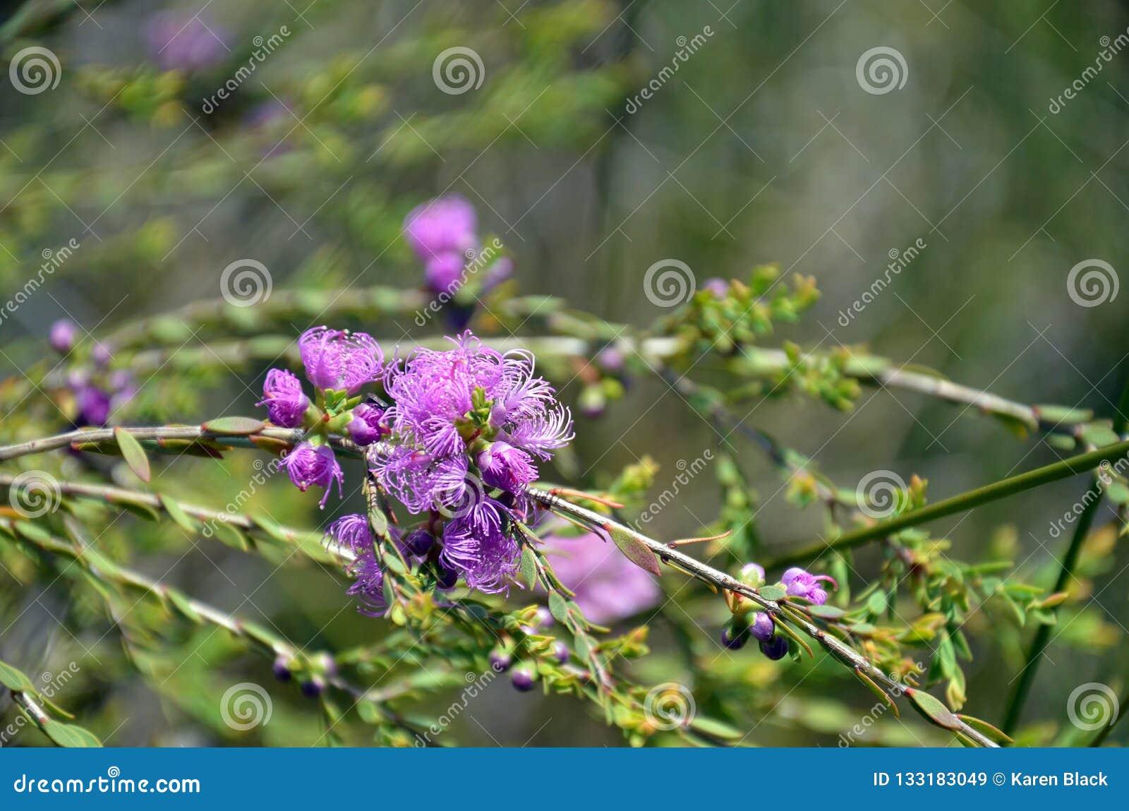 澳大利亚当地麝香草叶子蜂蜜默特尔