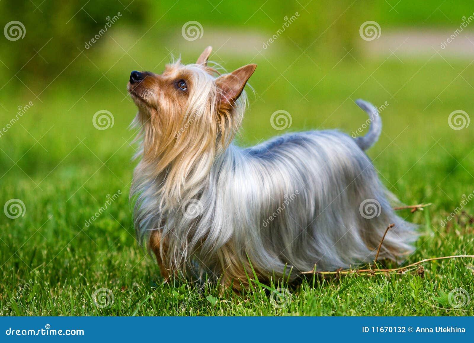 澳大利亚柔滑的狗