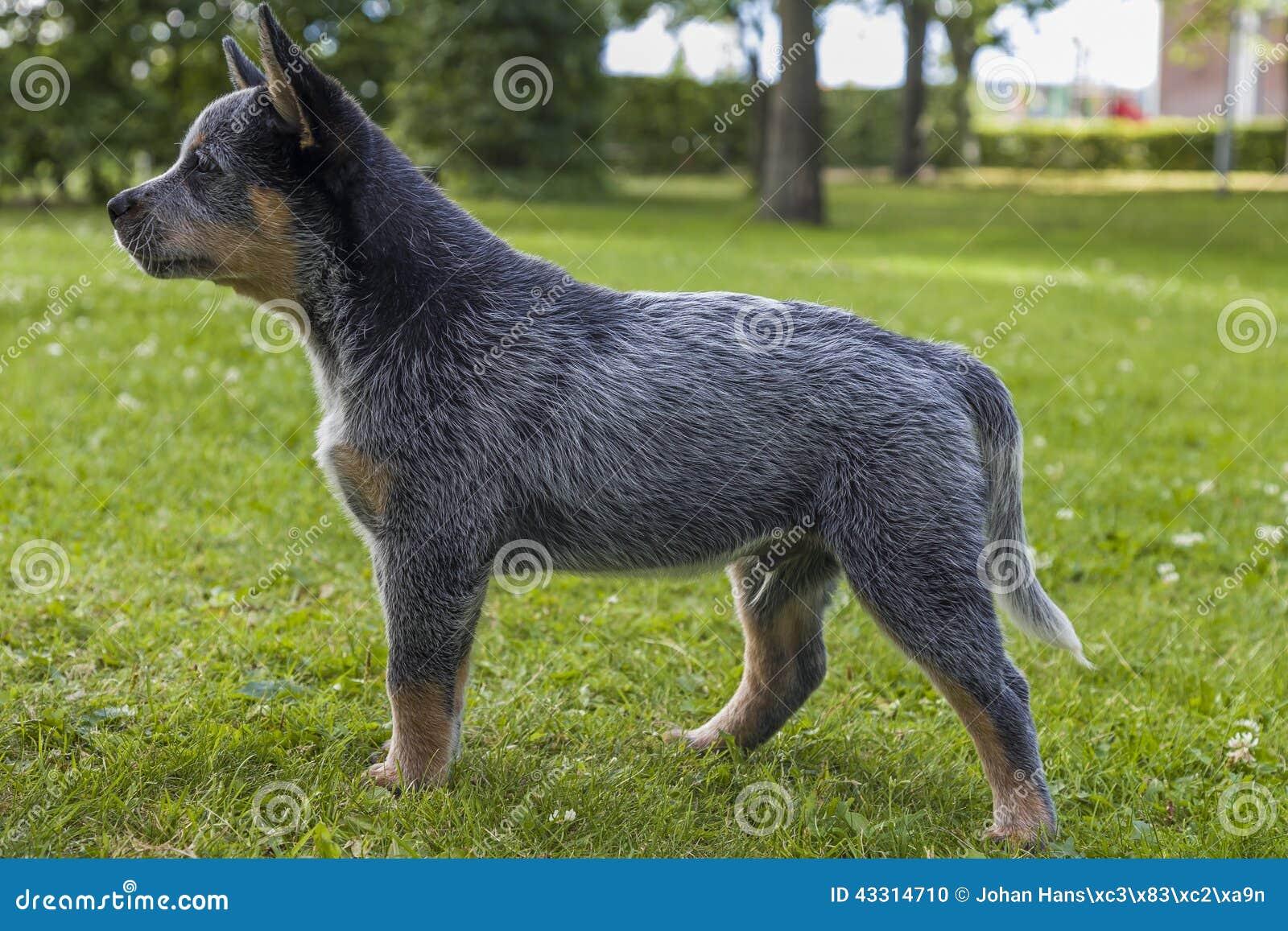 澳大利亚牛尾随在绿草的小狗