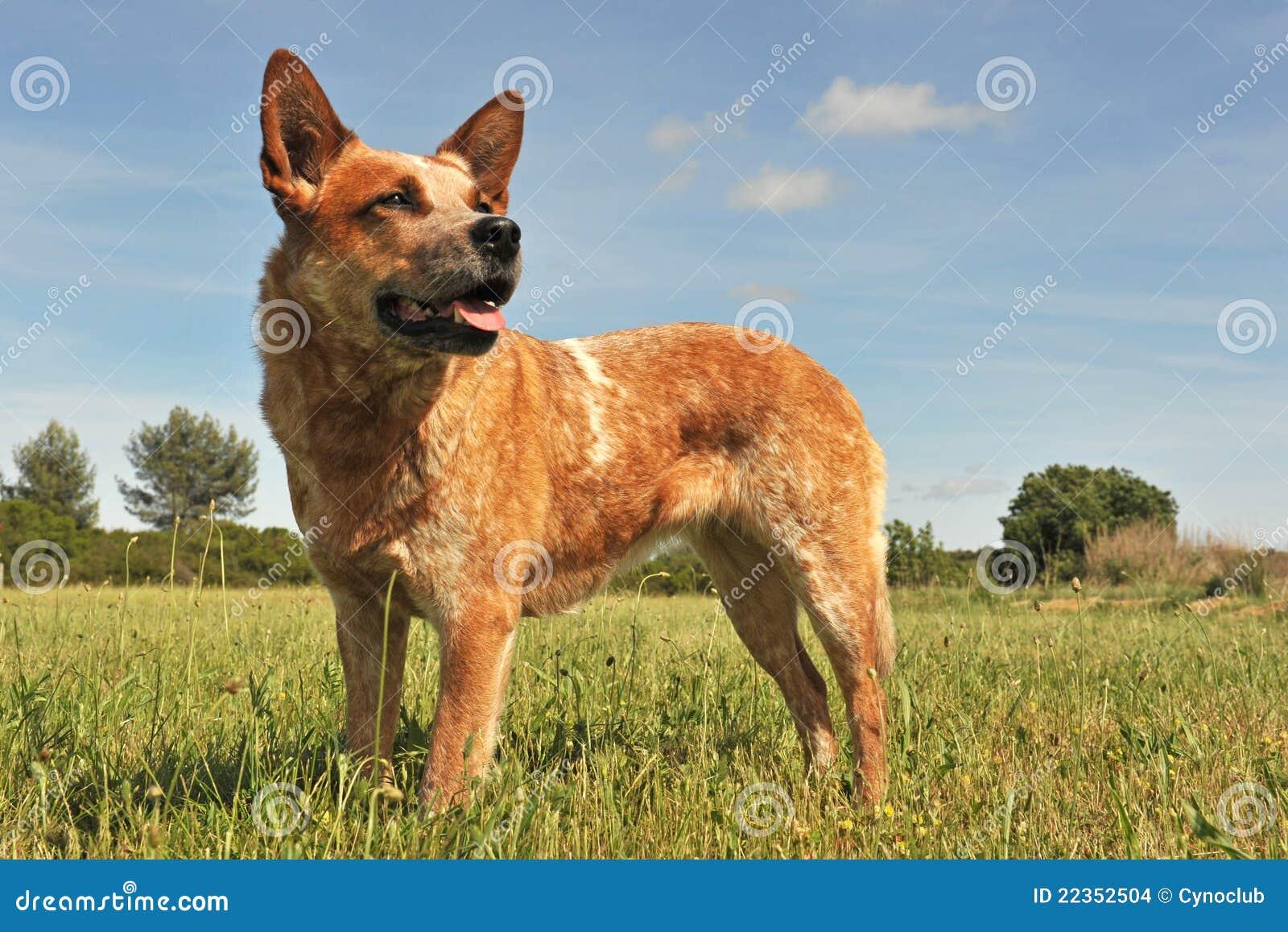 澳大利亚牛狗