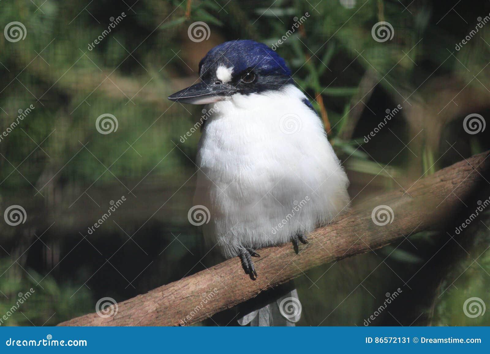 澳大利亚翠鸟