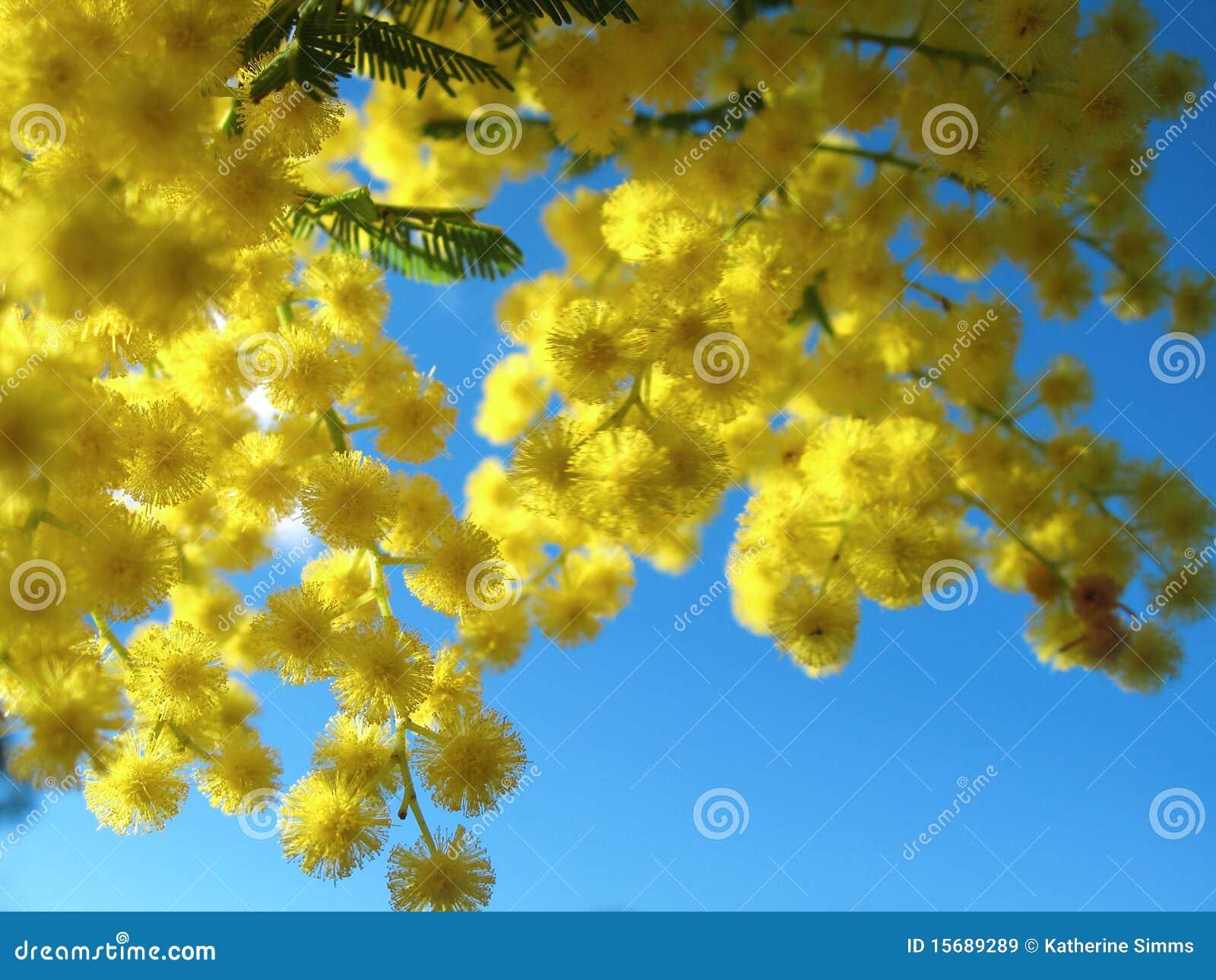 澳大利亚金荆树