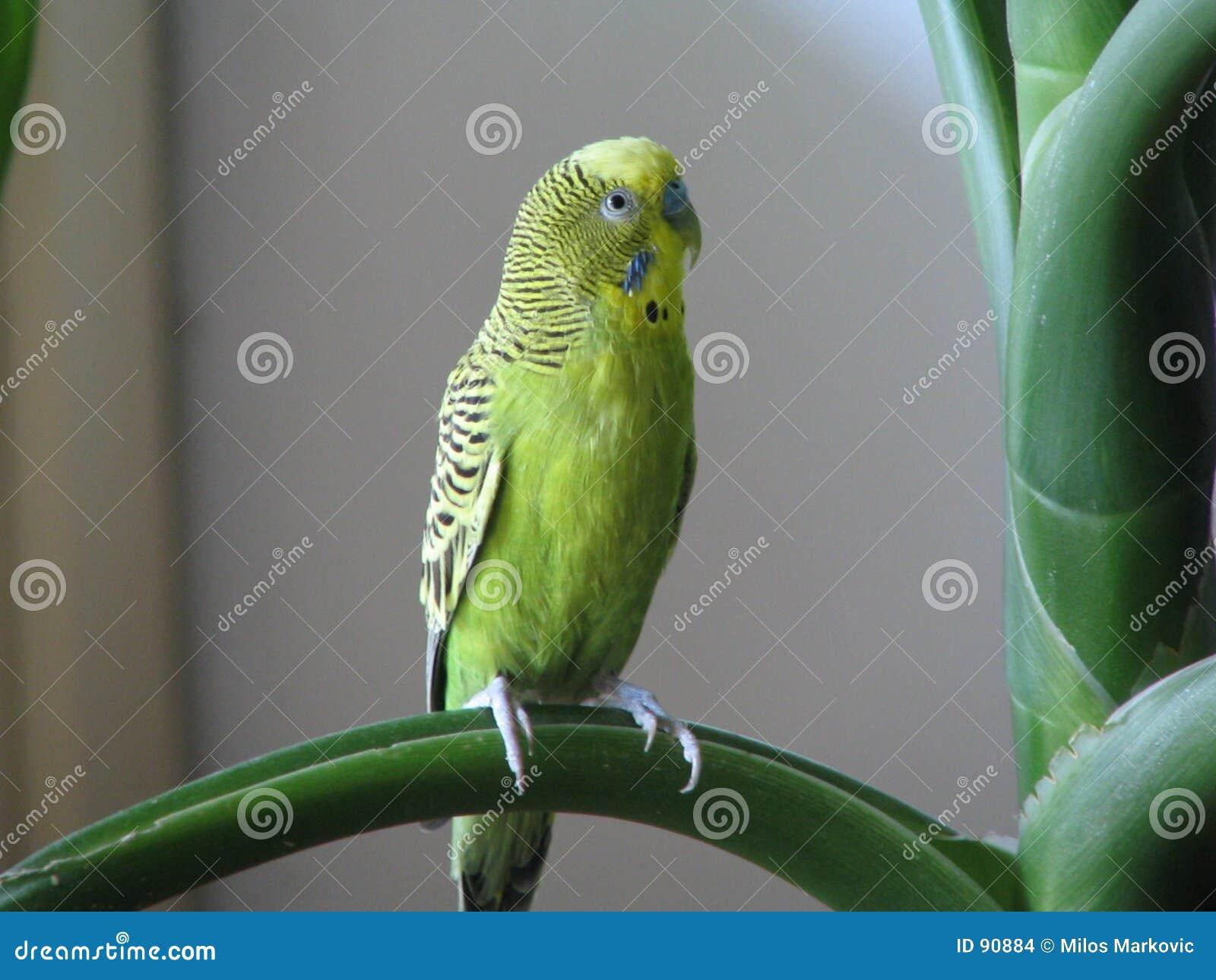 澳大利亚鹦鹉