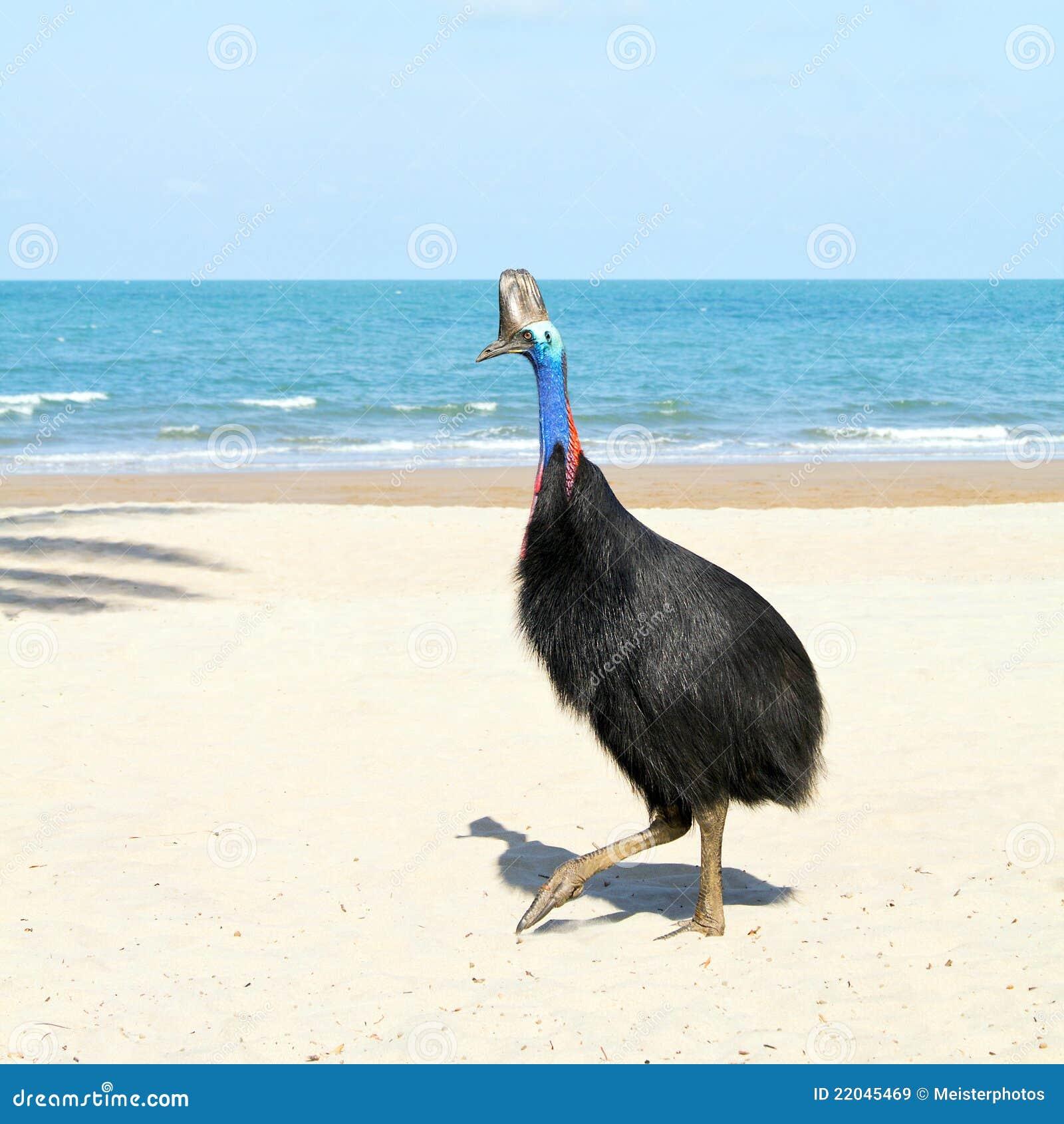 澳洲通配海滩的食火鸡