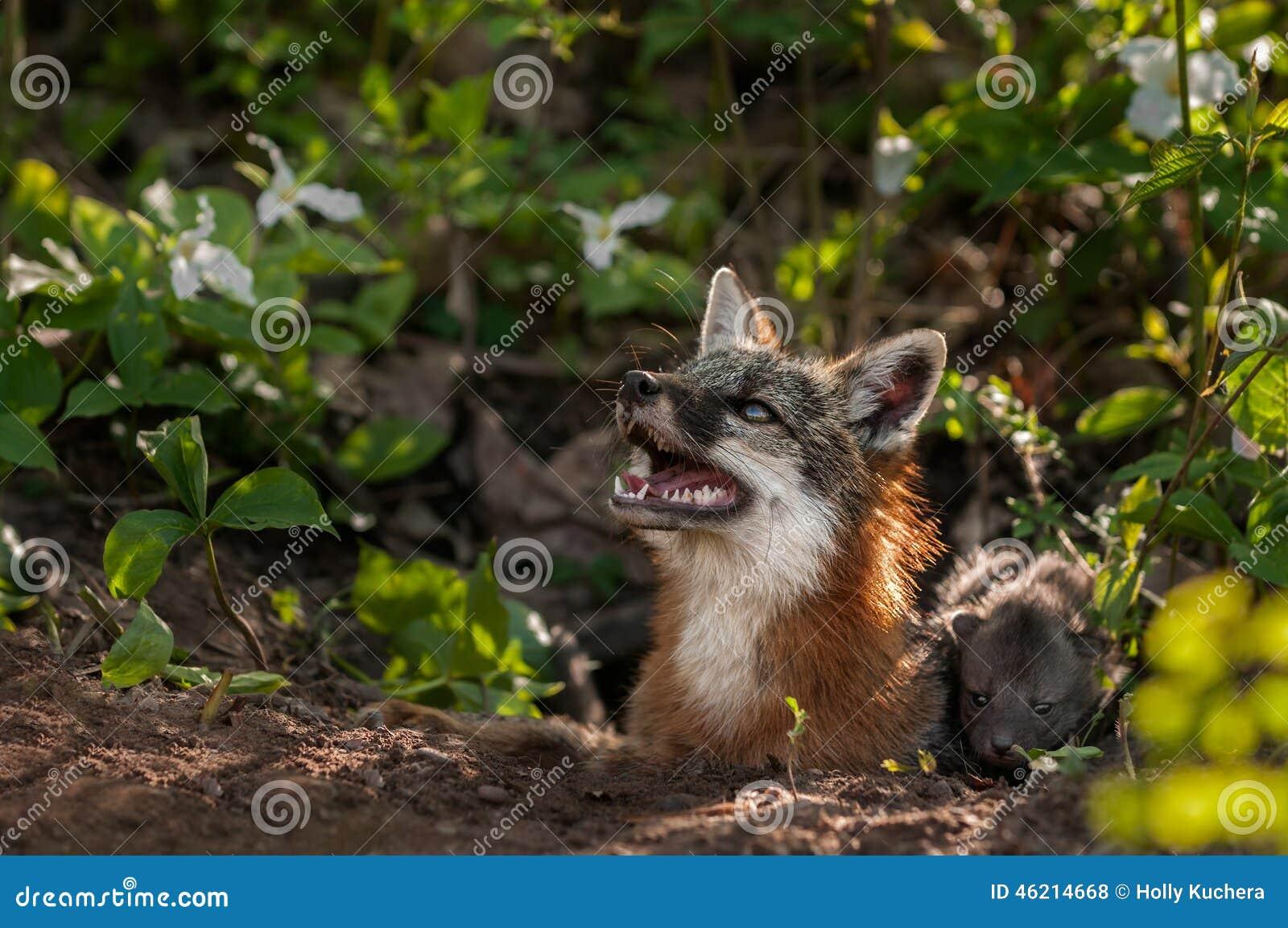 灰狐狸动物(灰图片类cinereoargenteus)查寻与成套泼妇-捕获的狐狸.底性感银色工具红高跟鞋图片