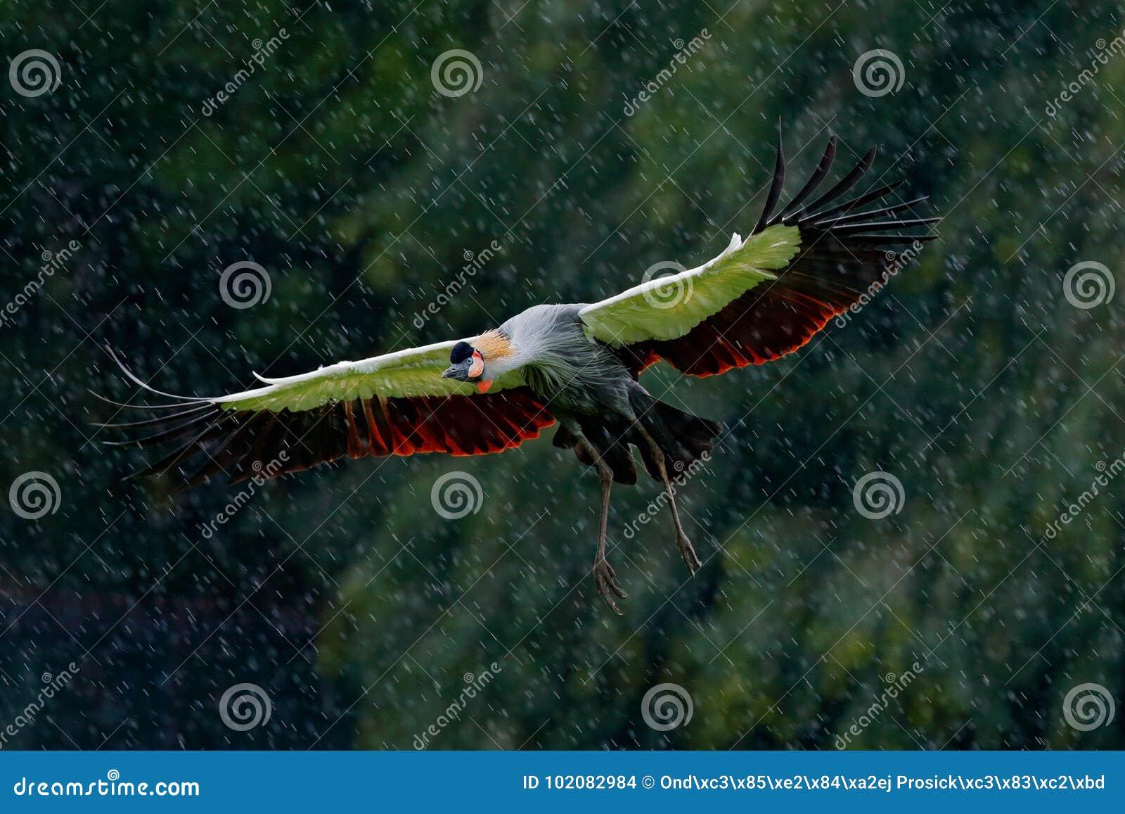 灰色加冠了大蚊, Balearica regulorum,有黑暗的背景 有金冠的鸟头美好的晚上太阳光的 Sunse