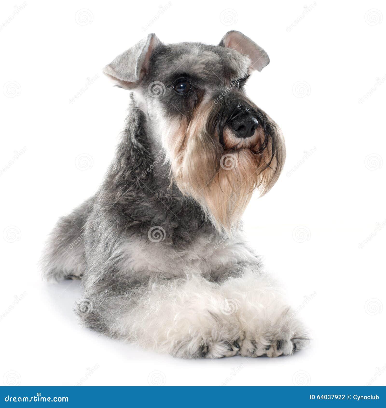 灰色小髯狗
