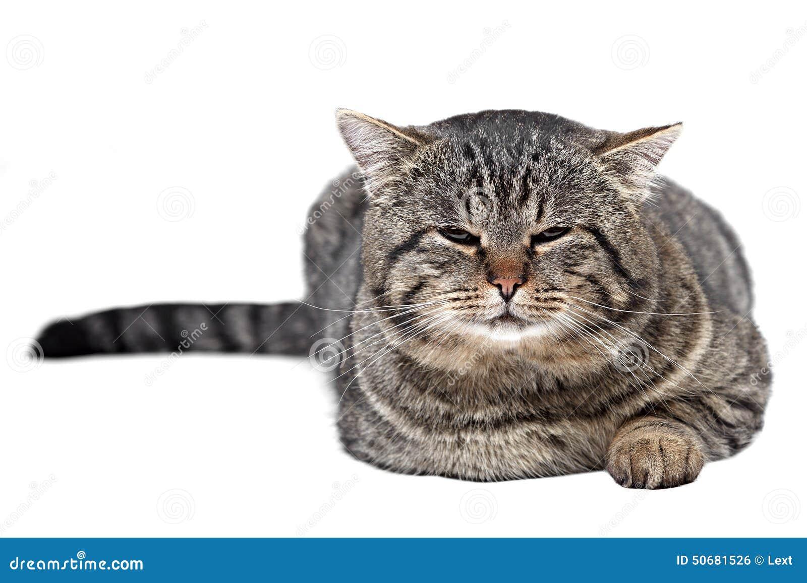 Download 灰色猫在白色背景和看说谎c 库存照片. 图片 包括有 灰色, 的treadled, 爪子, 羊毛, 眼睛 - 50681526