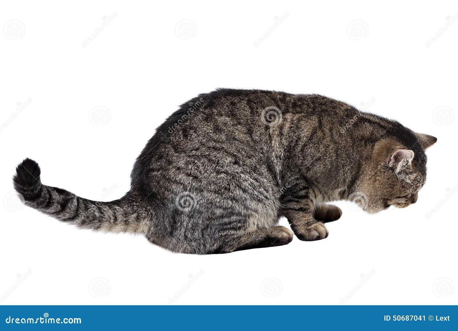 Download 灰色猫在白色背景说谎 库存图片. 图片 包括有 爪子, 头发, 姿势, 逗人喜爱, 查找, 背包, 敌意 - 50687041