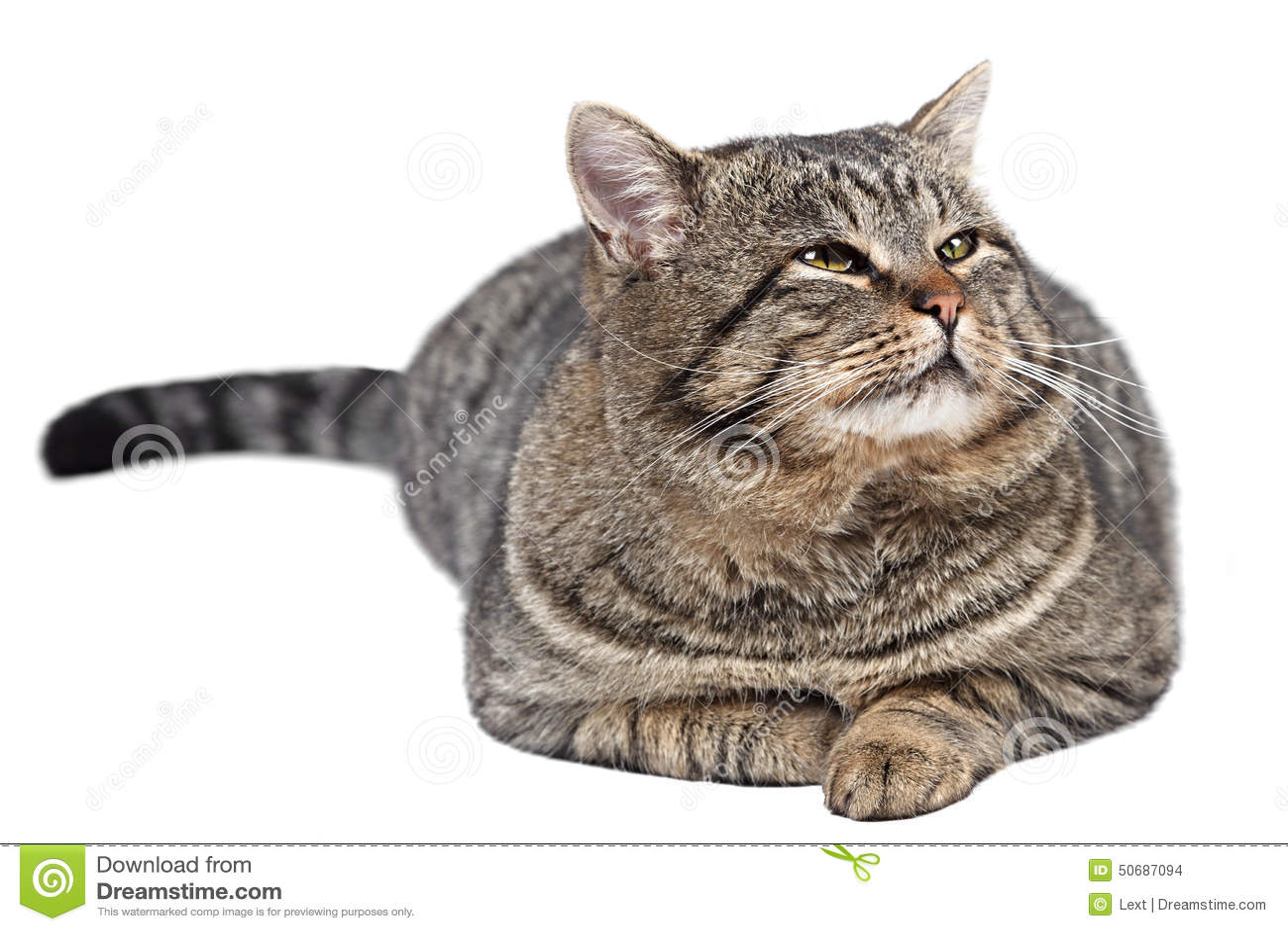 Download 灰色猫在白色背景说谎 库存照片. 图片 包括有 滑稽, 下来, 查出, 食肉动物, 镶边, 现有量, 逗人喜爱 - 50687094