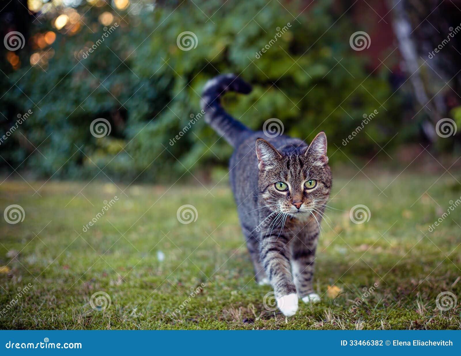 灰色猫在他们的在狩猎的区域