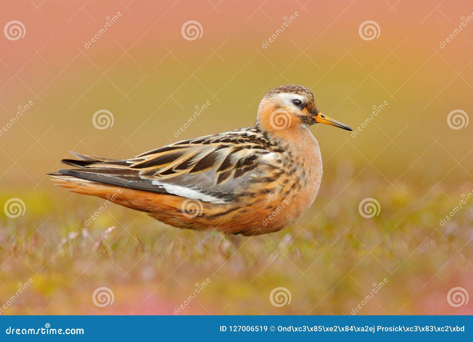 灰色矶鹞之类, Phalaropus fulicarius,橙色和棕色水禽在草自然栖所, Longyaerbyen,斯瓦尔巴特群岛,挪威 Wi