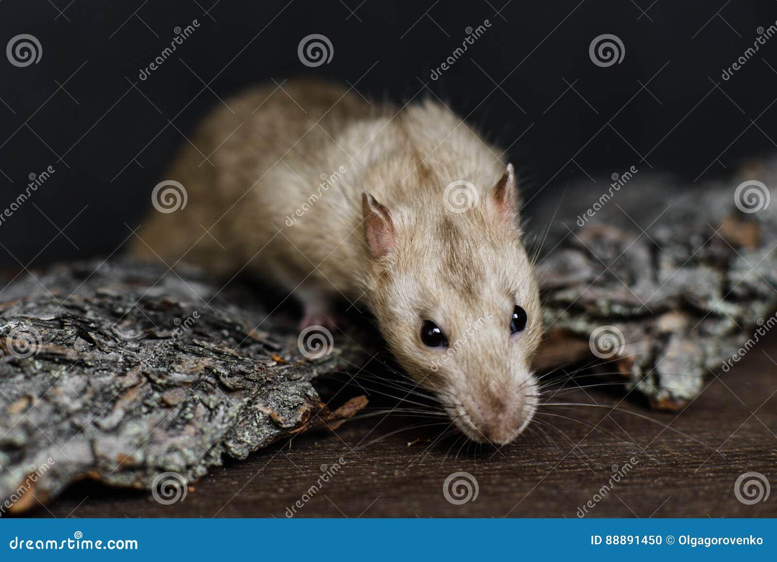 灰色花梢鼠劫掠的食物