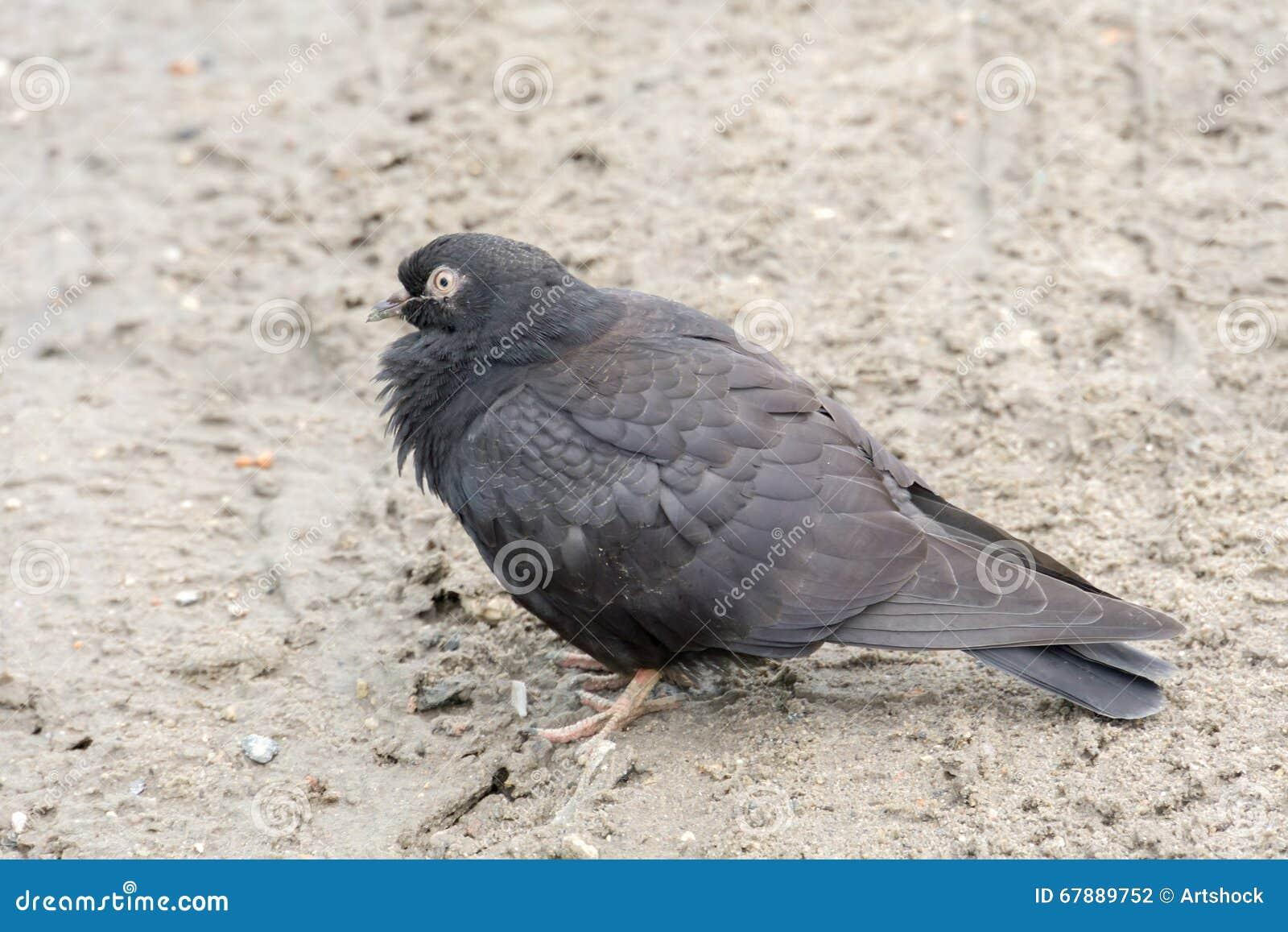 灰色鸽子画象